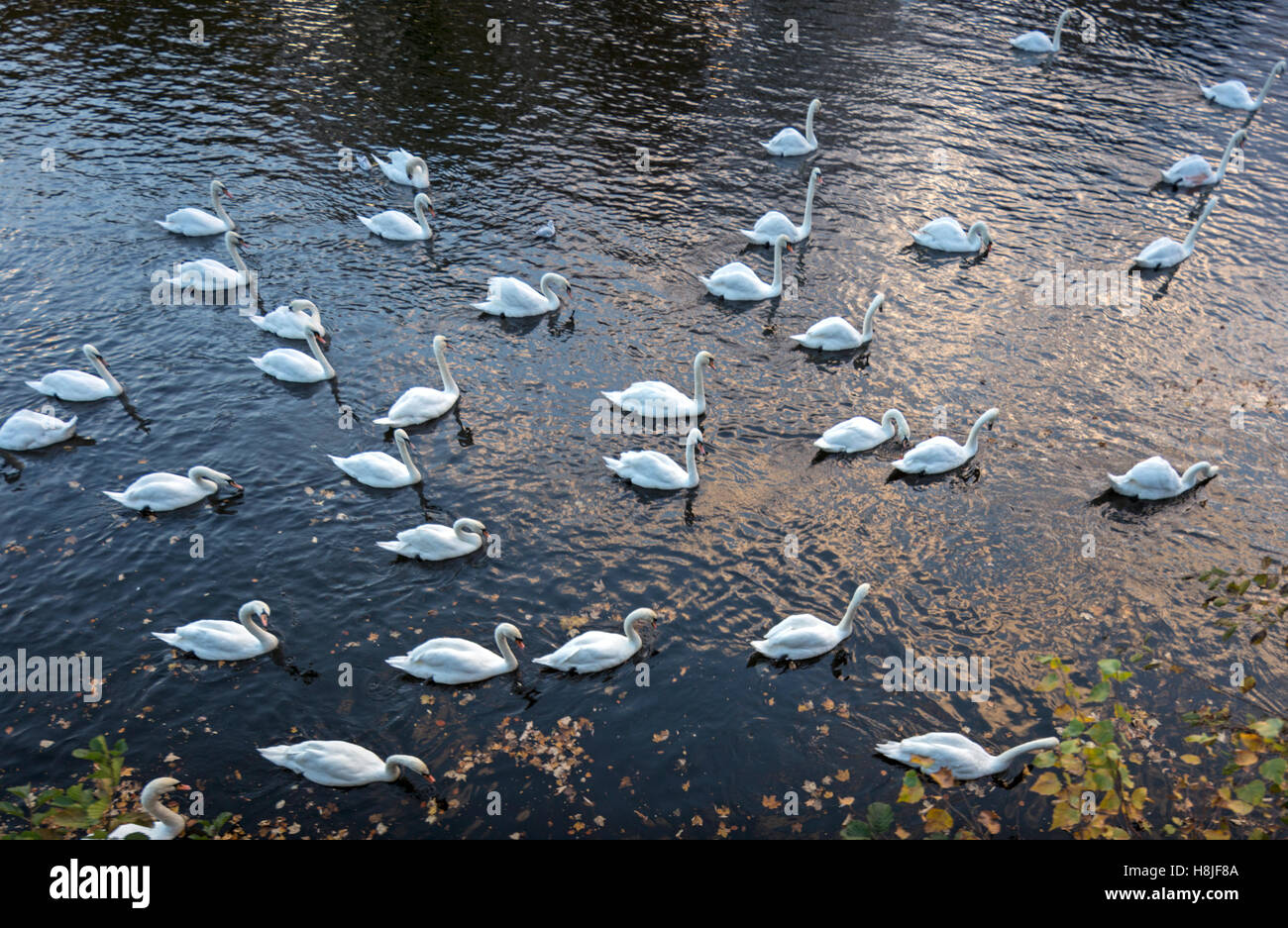Mute Swans on the river Severn, Worcester, Worcestershire, England, UK - Stock Image