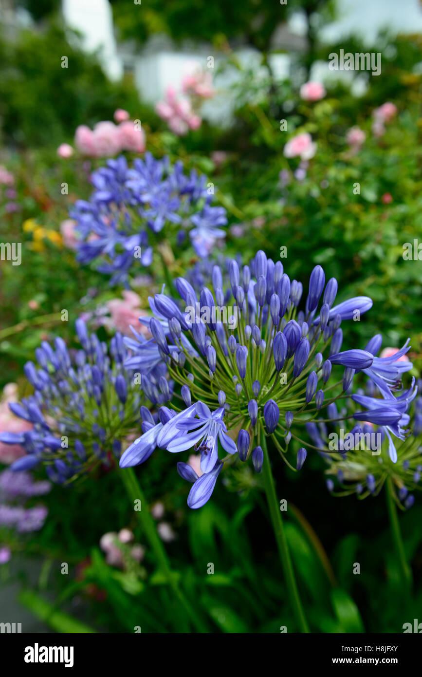 Agapanthus Eggesford Sky Blue Flower Flowers Flowering Perennial
