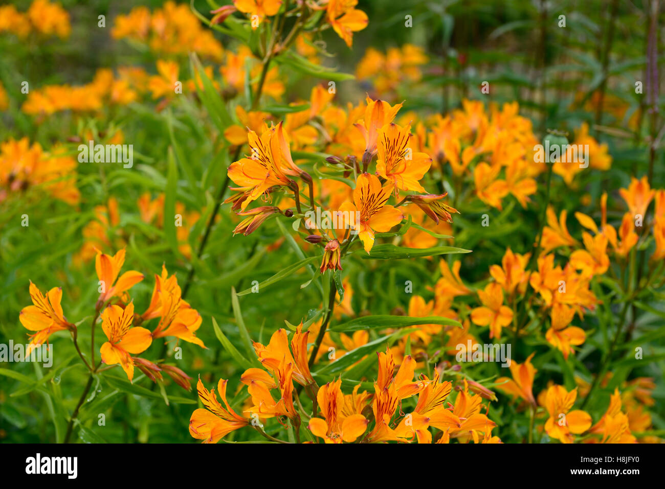 Orange alstroemeria stock photos orange alstroemeria stock images alstroemeria orange glory peruvian lily orange flowers flowering perennial rm floral stock image mightylinksfo