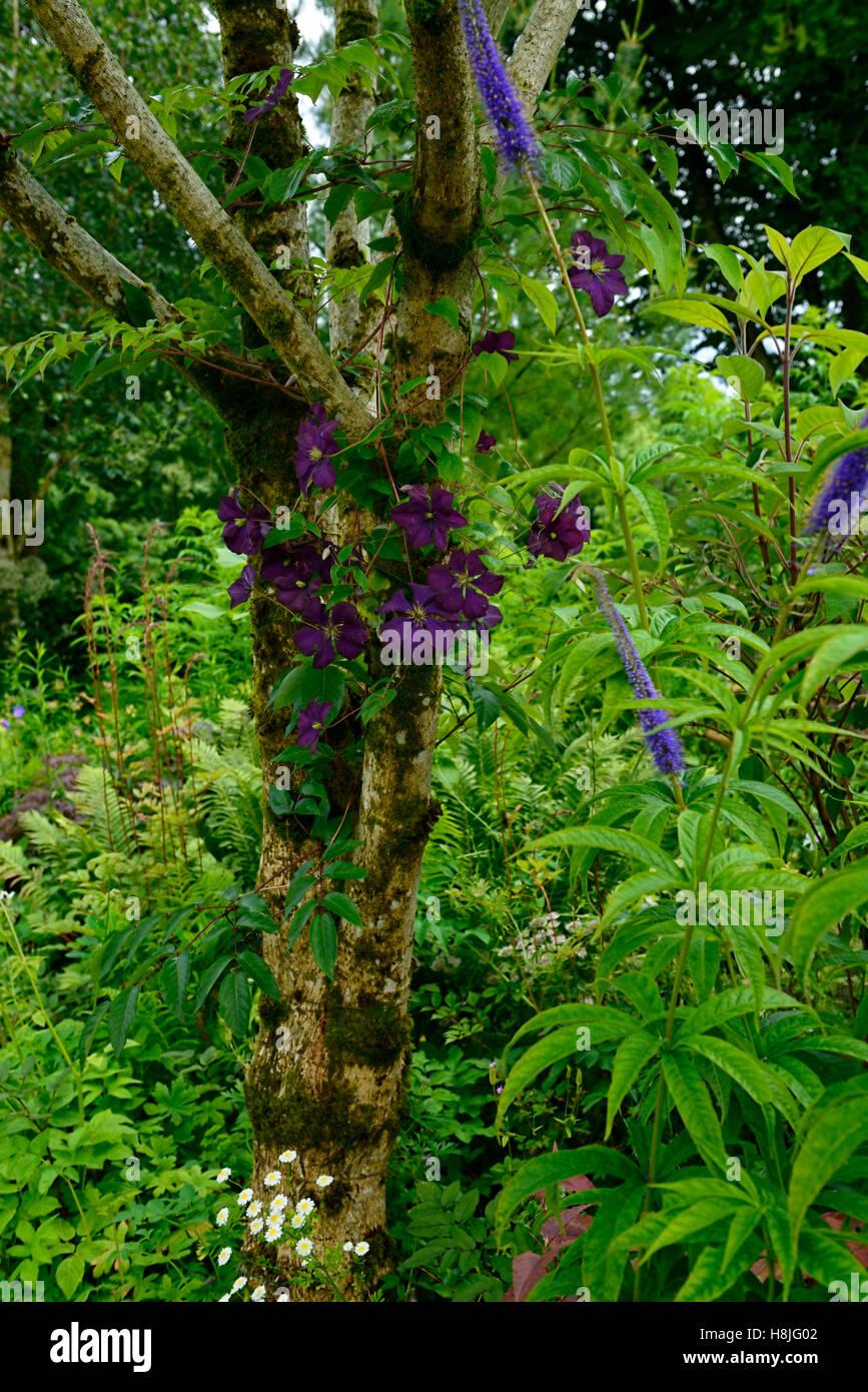 clematis etoile violette purple flowers climb climber scrambling scramble ramble cover tree flowering creeper RM - Stock Image