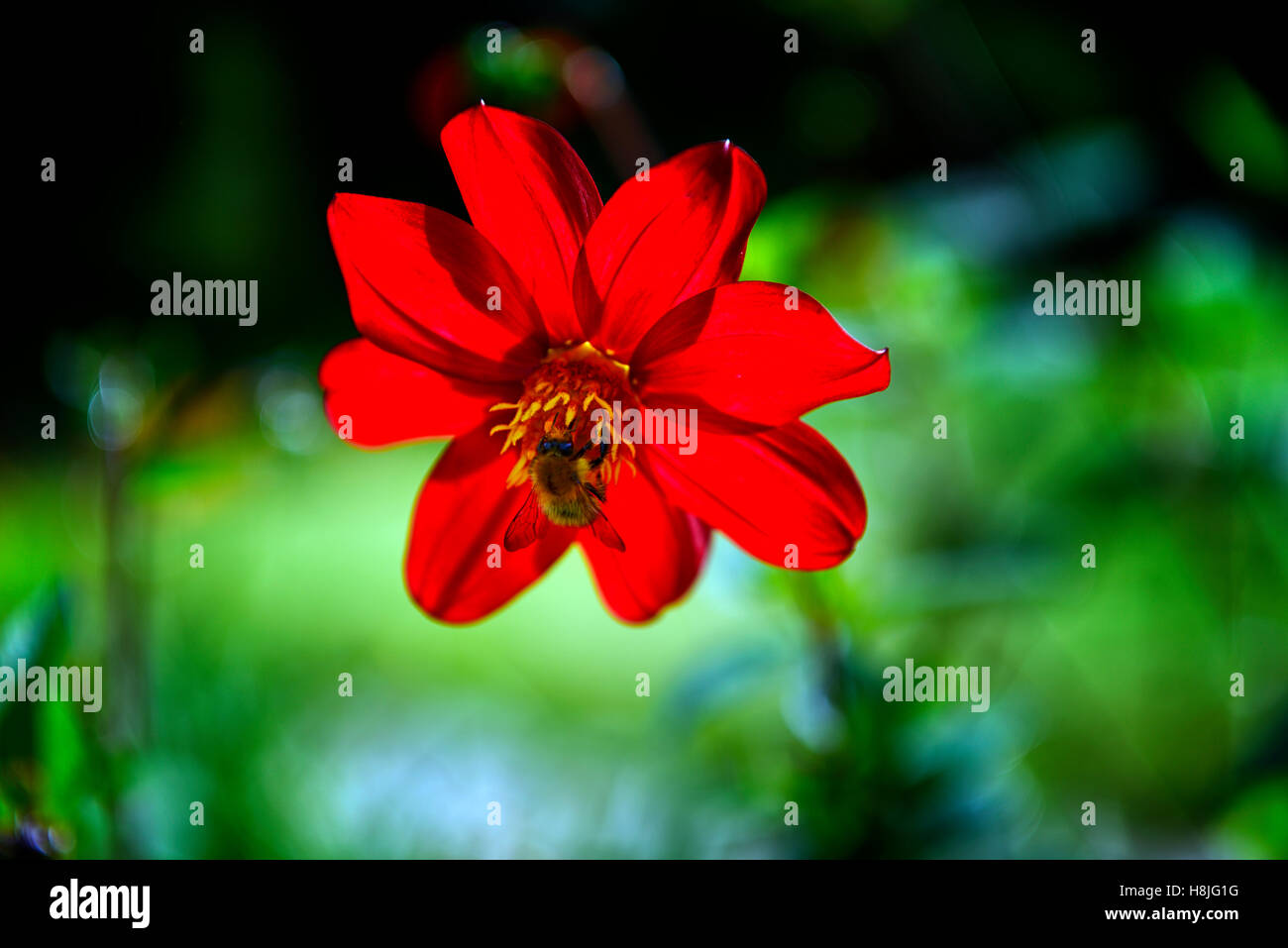 single scarlet red dahlia backlit honey bee dahlias wildlife friendly gardening flower flowers flowering perennial - Stock Image