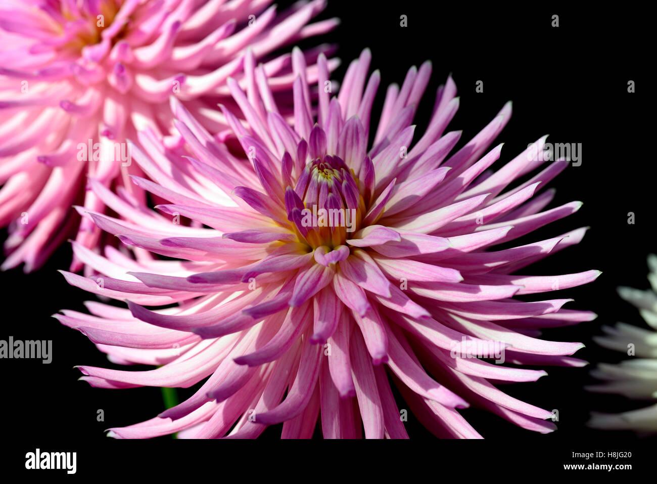 Dahlia deborahs kiwi cactus pink dahlias flower flowers flowering dahlia deborahs kiwi cactus pink dahlias flower flowers flowering perennial rm floral izmirmasajfo