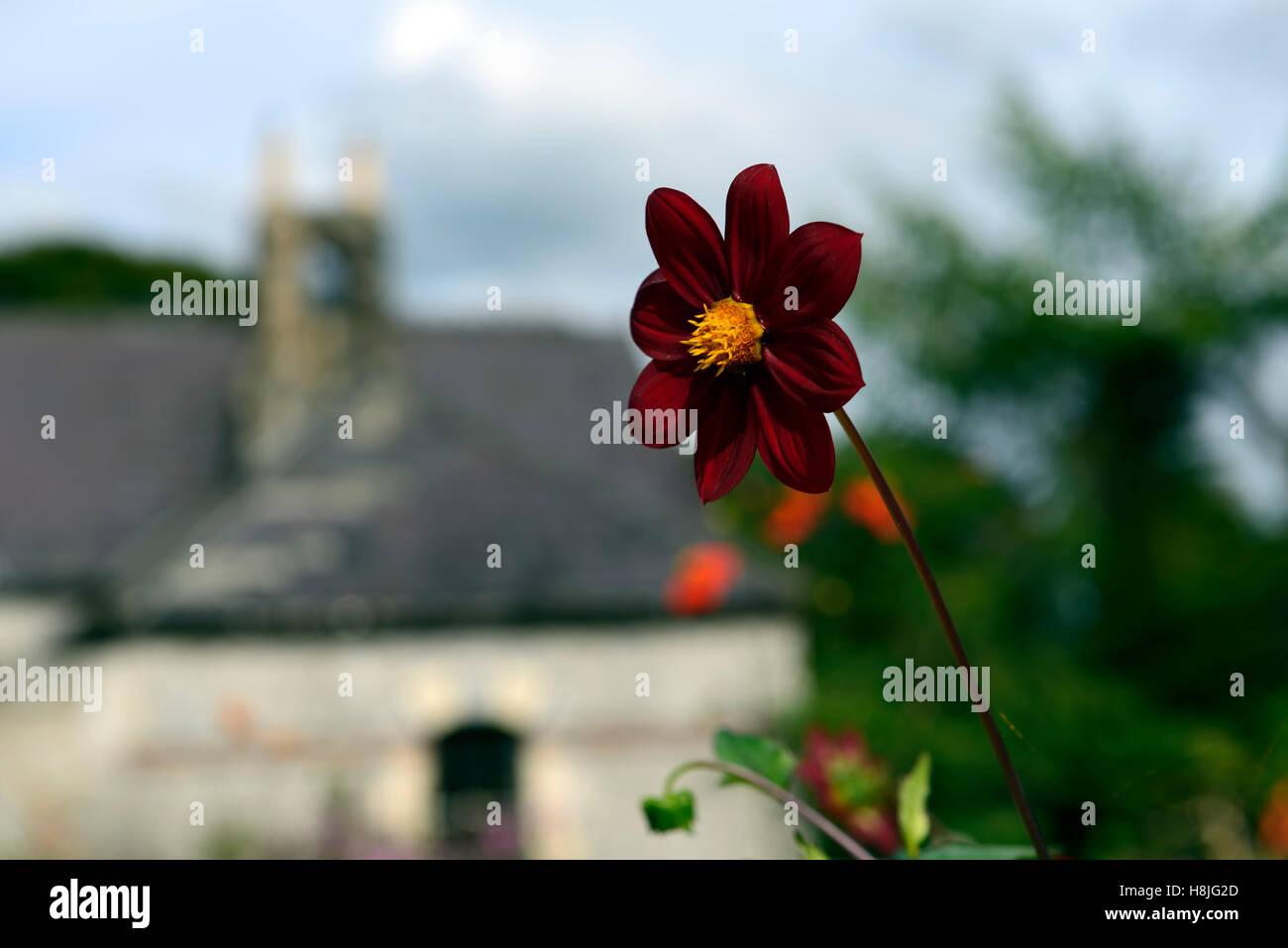 dahlia seedling june blakes garden wicklow dark deep red flower flowers flowering RM Floral - Stock Image