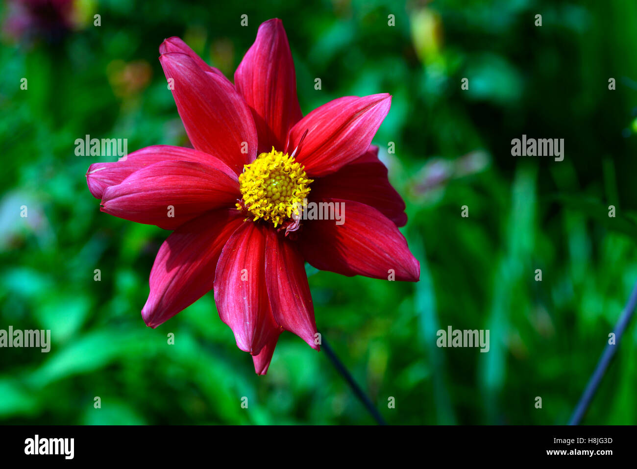 dahlia single red seedling unnamed yellow eye dahlias wildlife friendly RM Floral - Stock Image