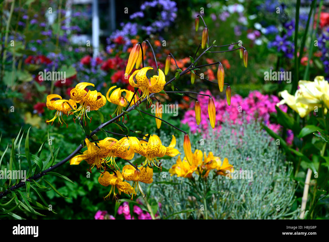 lilium leichtlinii yellow species lily lilies Herbaceous Border perennials lush planting scheme summer mix mixed - Stock Image