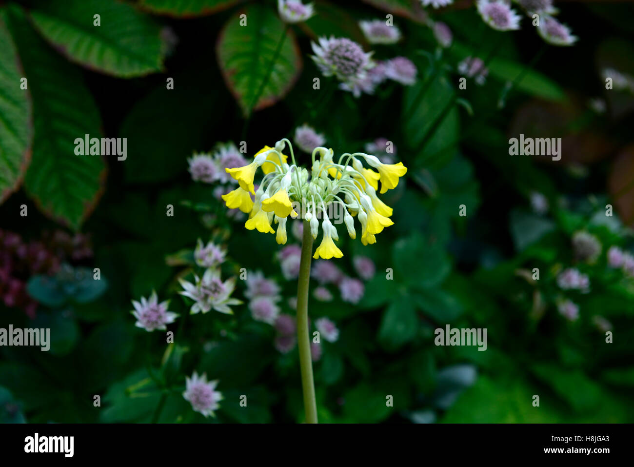 primula florindae yellow species cowslip primrose white purple astrantia mix mixed flowering flower combination - Stock Image
