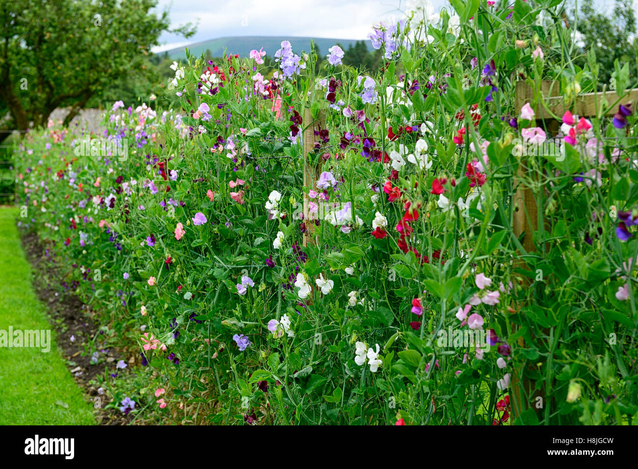 Lathyrus Sweet Peas Pea Grow Growing Up Fence Fencing