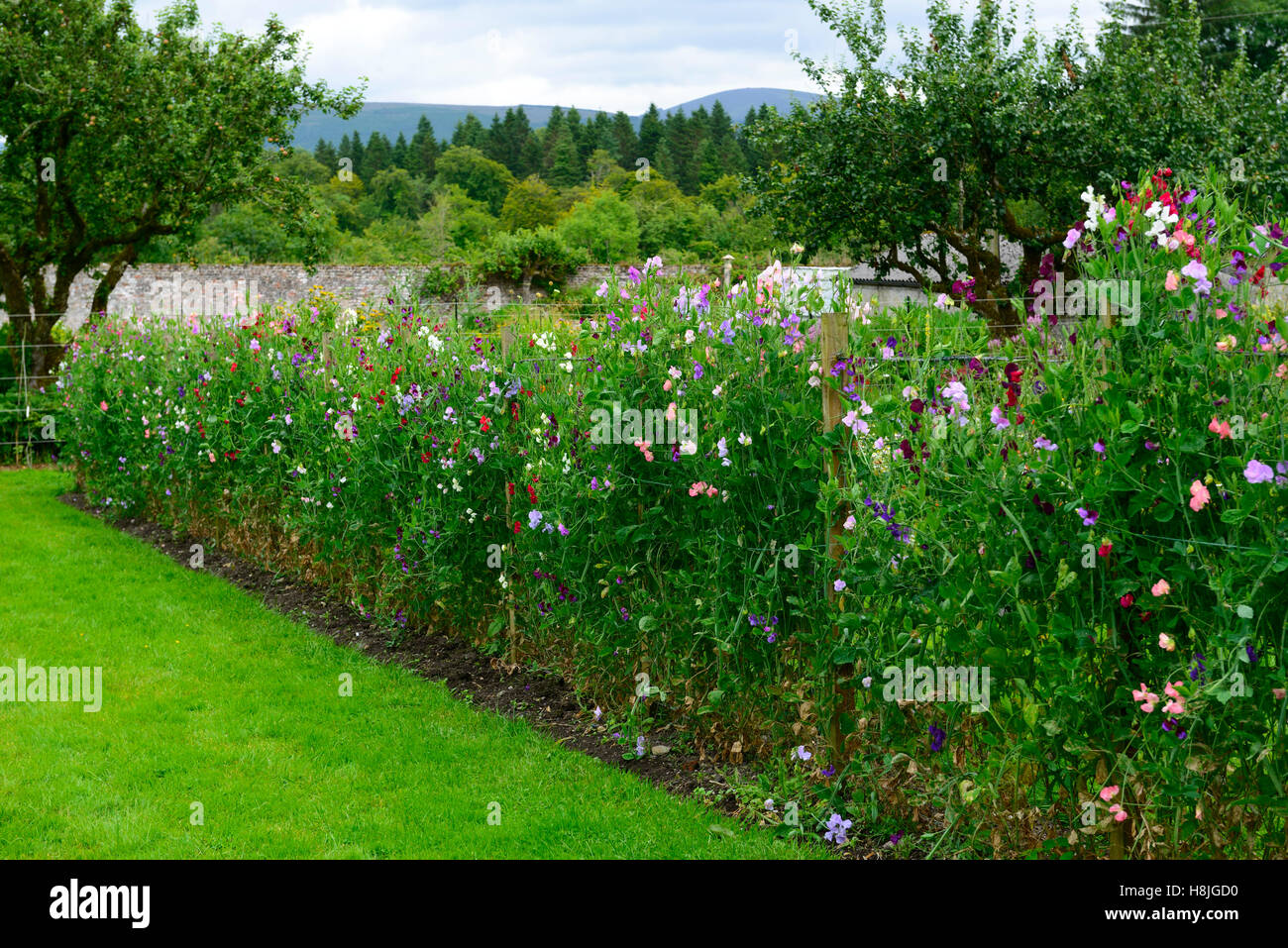 Lathyrus Sweet Peas Pea Grow Growing Up Fence Fencing Plant