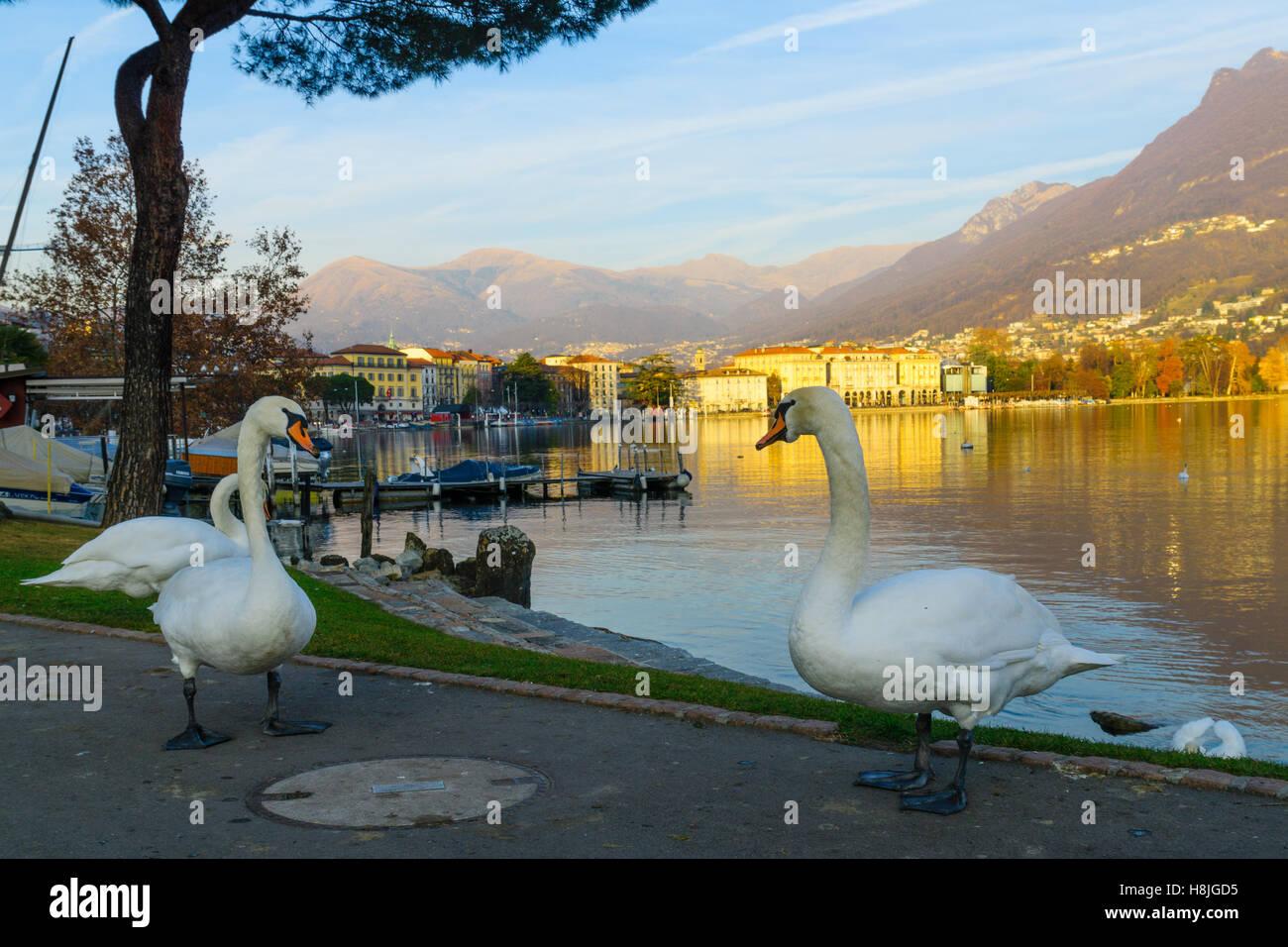 Swans on the lakeside promenade, at sunset, in Lugano, Ticino, Switzerland Stock Photo