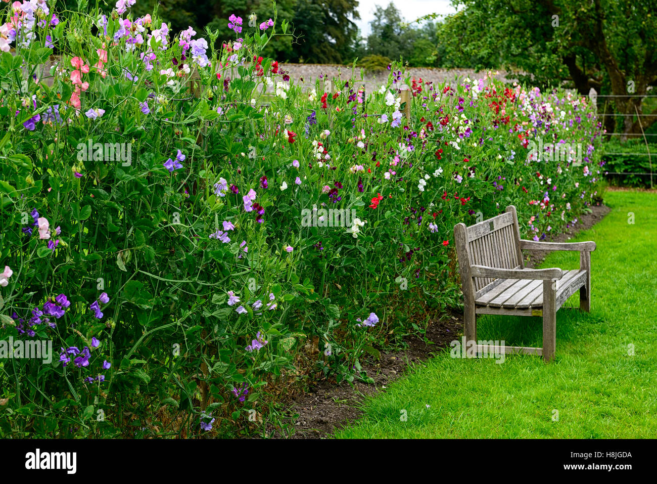 Lathyrus Sweet Peas Pea Grow Growing Up Fence Fencing Plant Supports