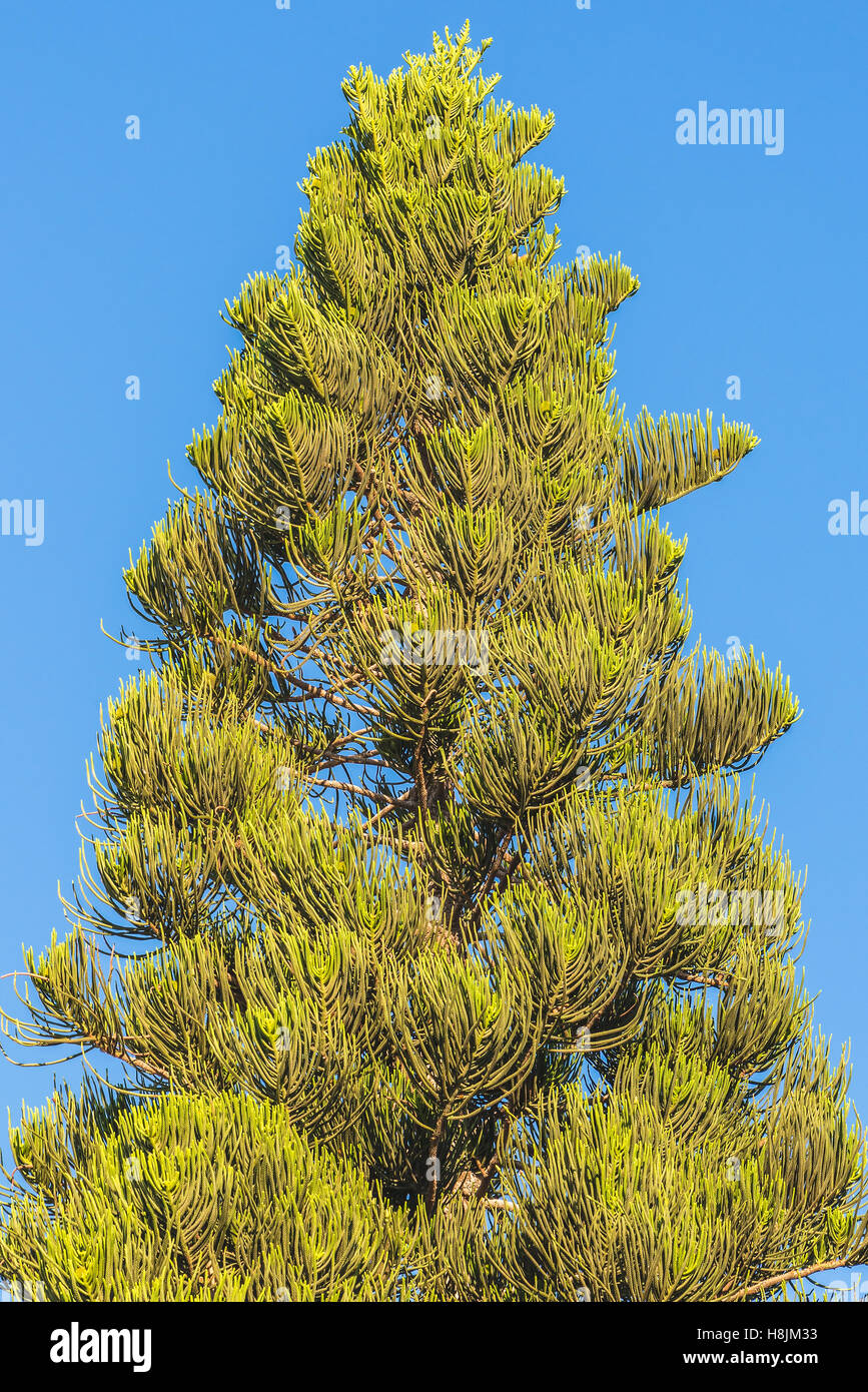Conifer tree. This photograph was taken on the island of Cyprus. - Stock Image