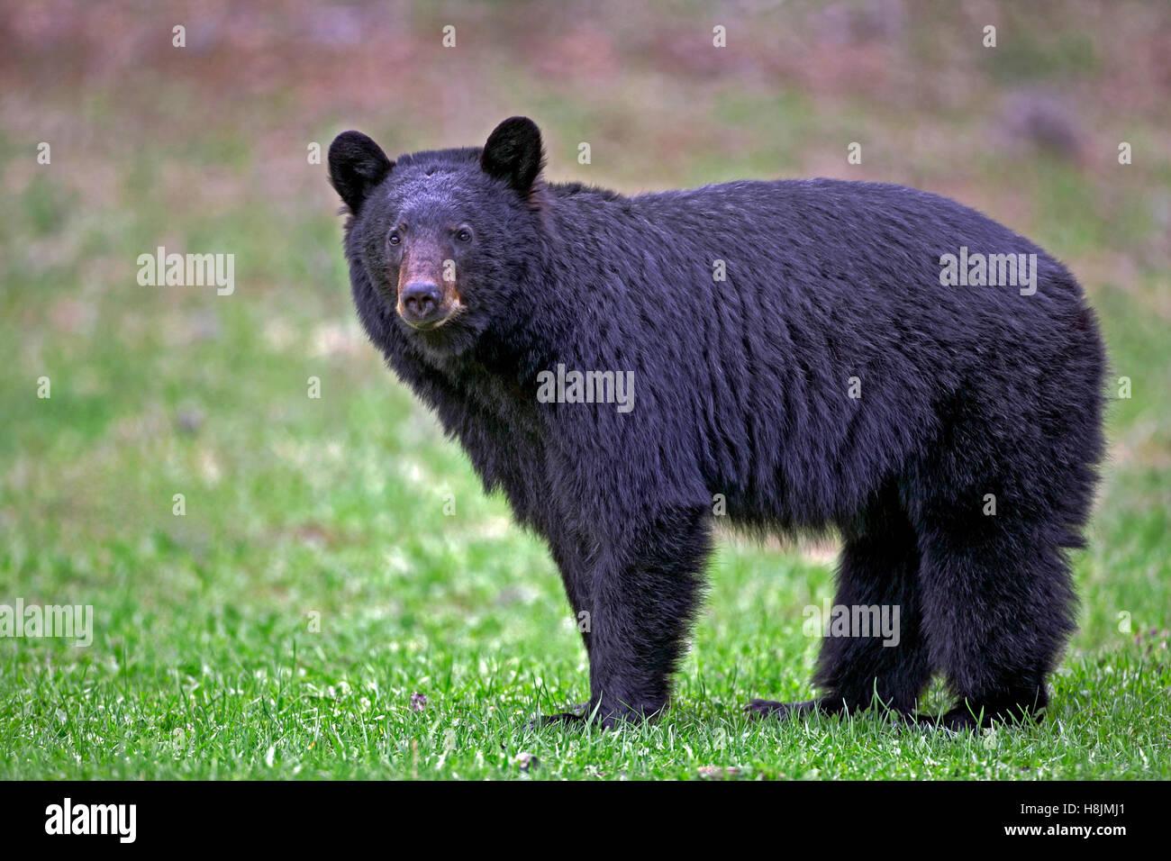 Black Bear standing in meadow, portrait  ( Ursus americanus ) - Stock Image