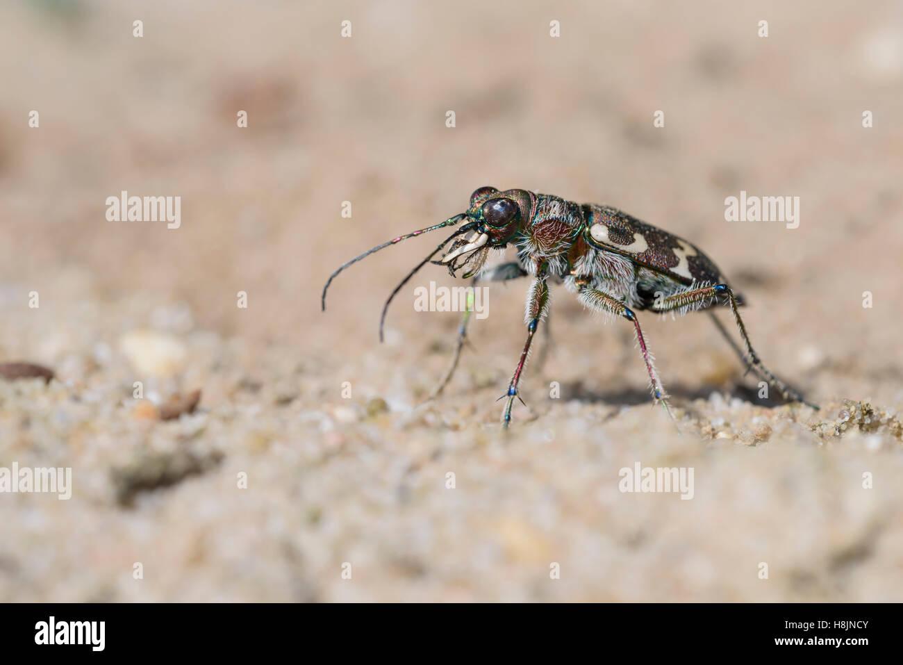 Duenen-Sandlaufkaefer, Cicindela hybrida, Northern Dune Tiger Beetle - Stock Image
