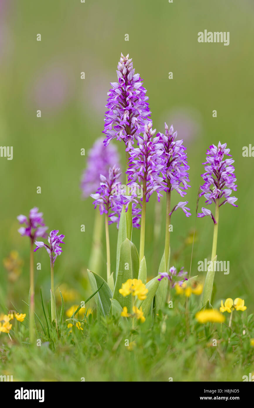 Helm-Knabenkraut, Orchis militaris, Military Orchid - Stock Image