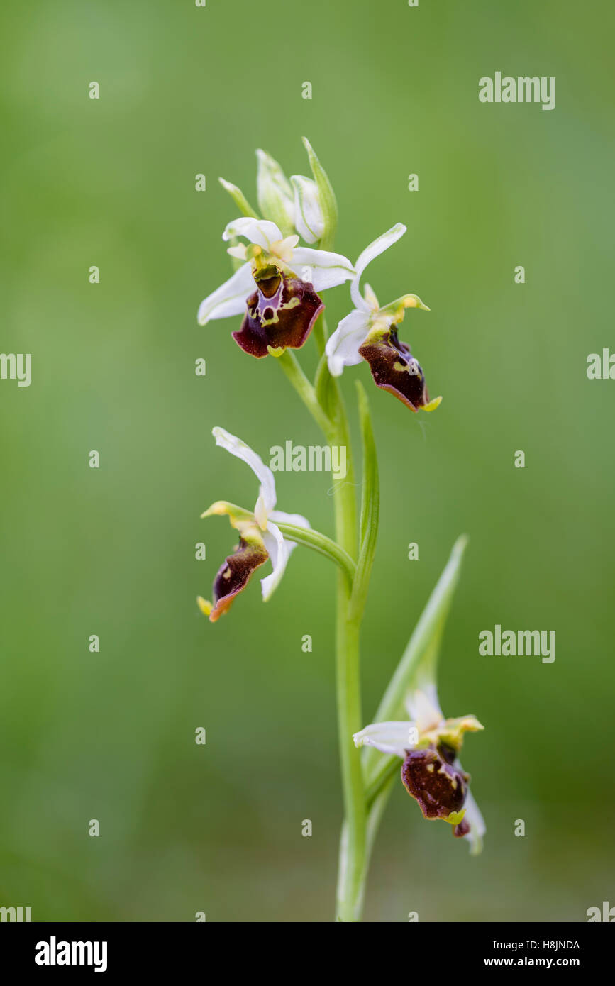 Hummel-Ragwurz, Ophrys holoserica, European Ophrys Orchid - Stock Image