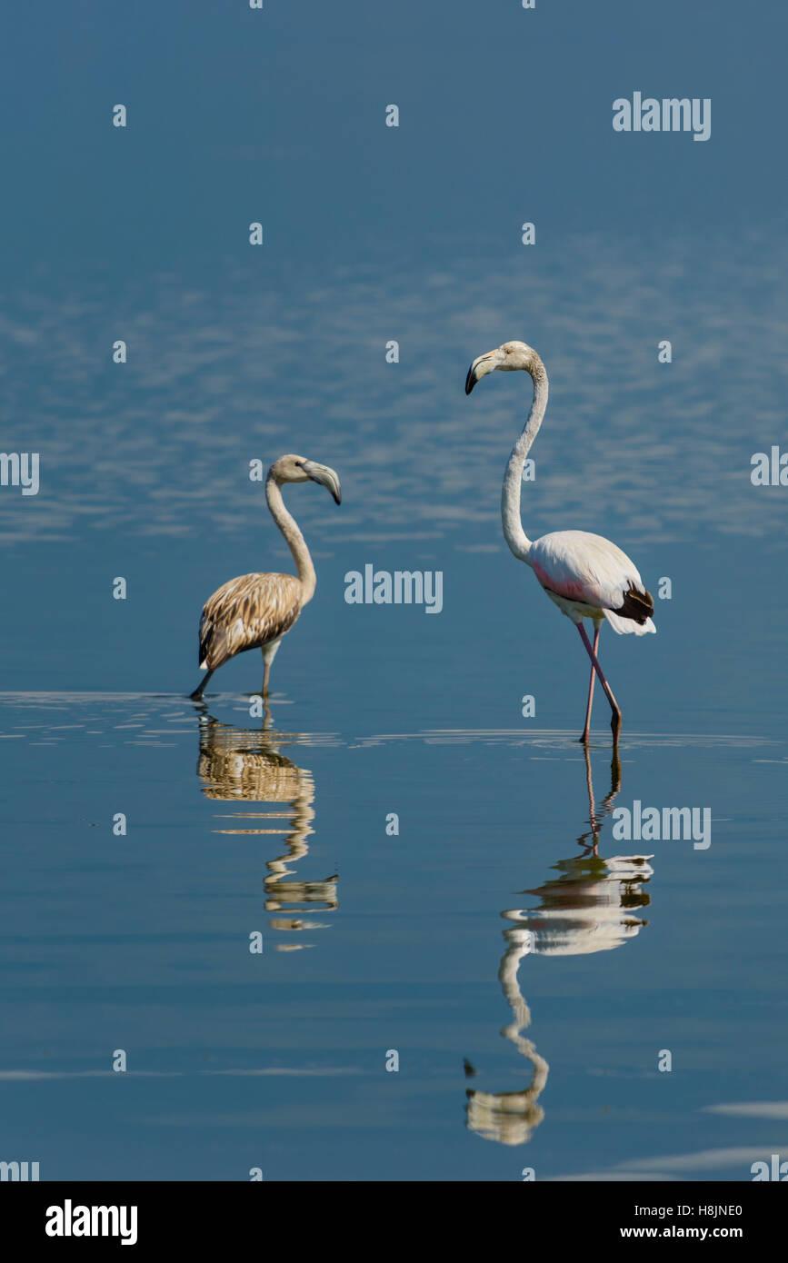 Rosaflamingo, Phoenicopterus roseus, Greater Flamingo Kerkini Lake - Stock Image