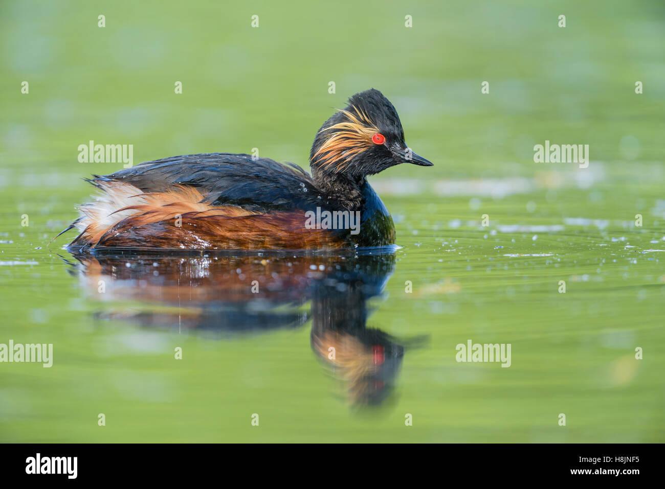 Schwarzhalstaucher, Podiceps nigricollis, Black necked Grebe - Stock Image