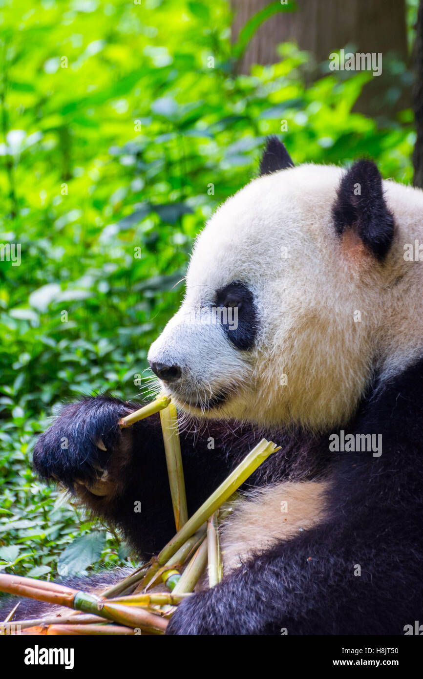 Giant panda bear (Ailuropoda melanoleuca) sitting and eating fresh bamboo - Stock Image