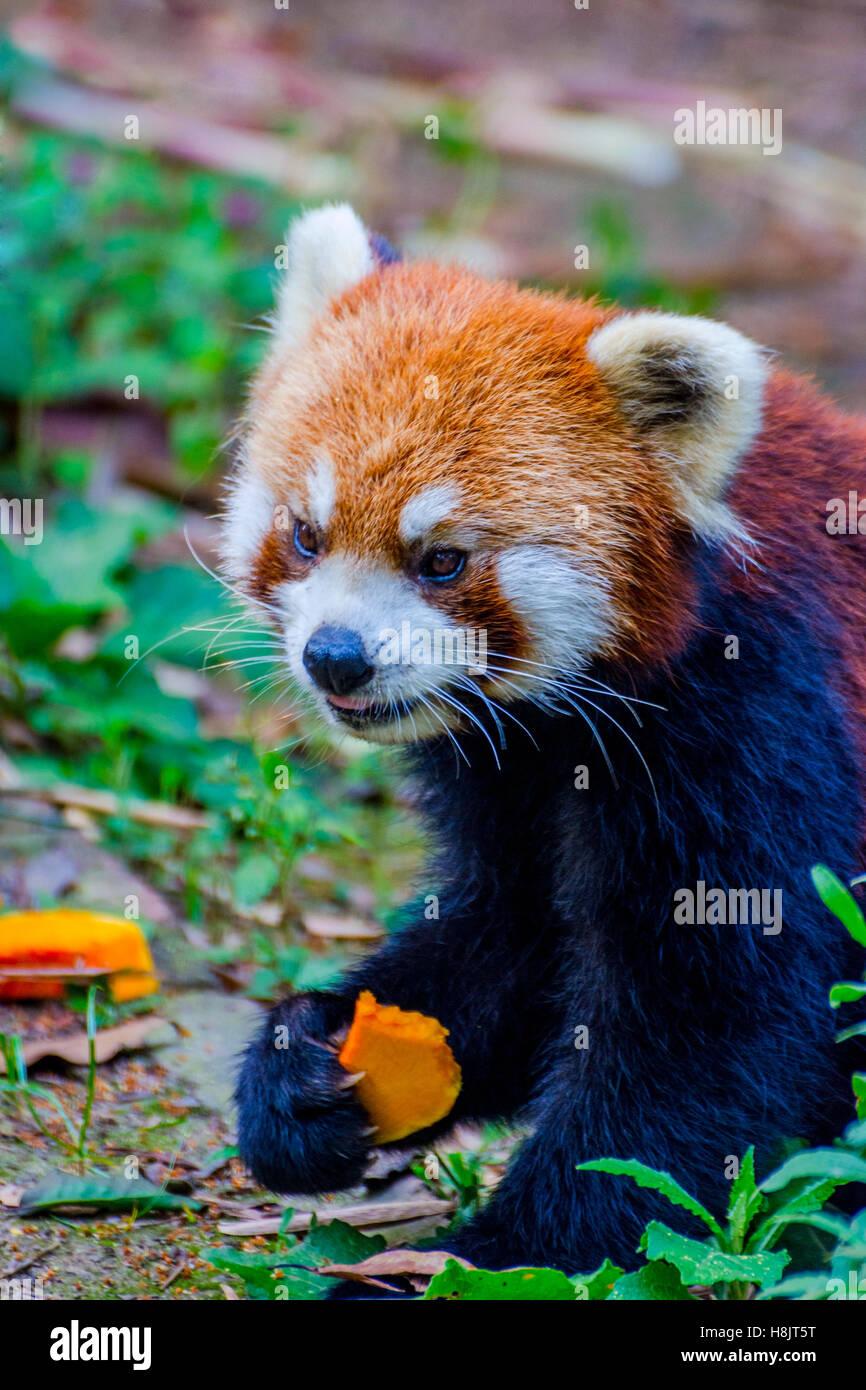 Red panda (Ailurus fulgens) or lesser panda eating pumpkins - Stock Image