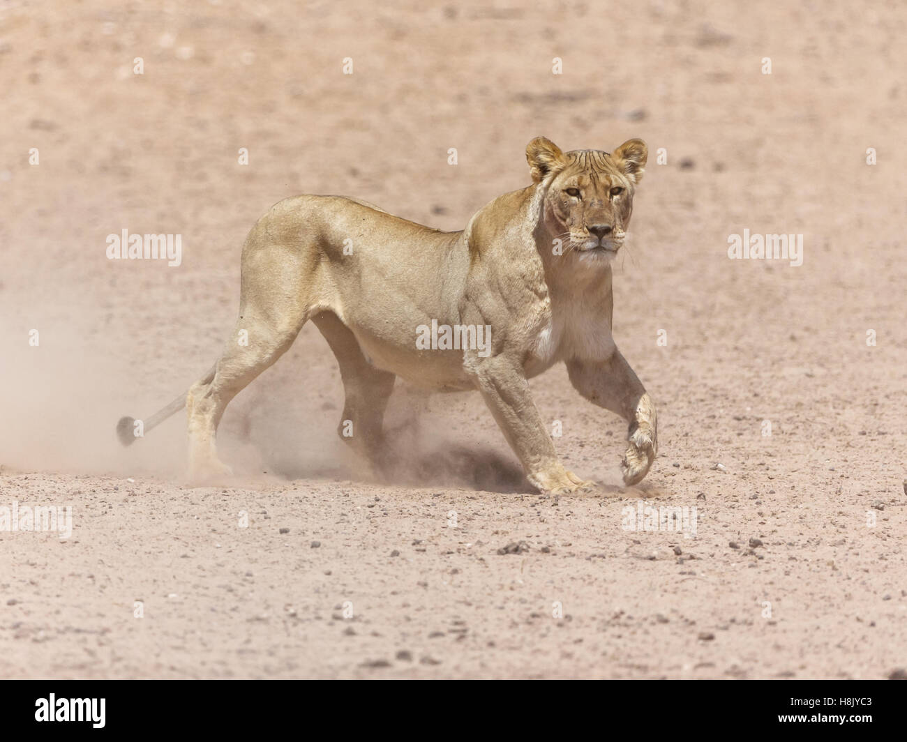Lioness PANTHERA LEO charging - Stock Image