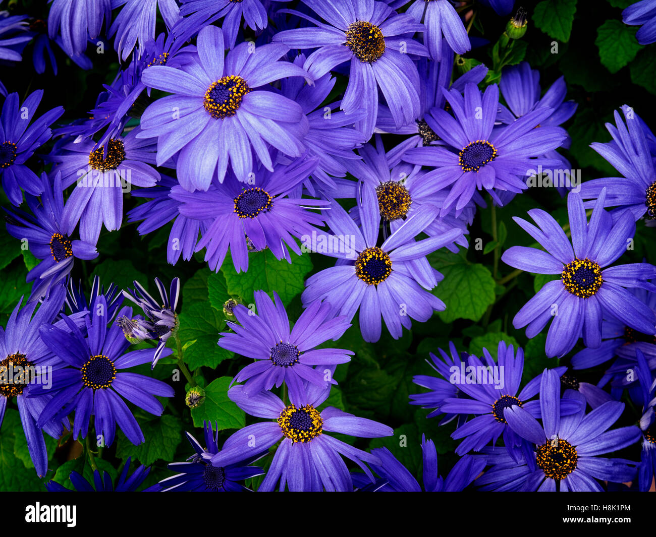Close up of Senetti (Blue Sky) flowers. - Stock Image