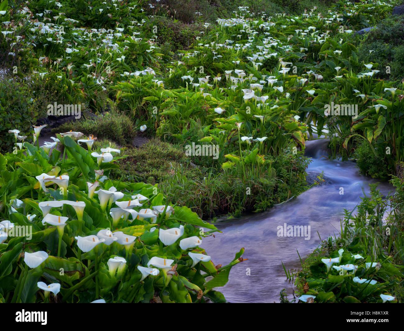 Calla lillies and stream. Garrapata State Park, California - Stock Image