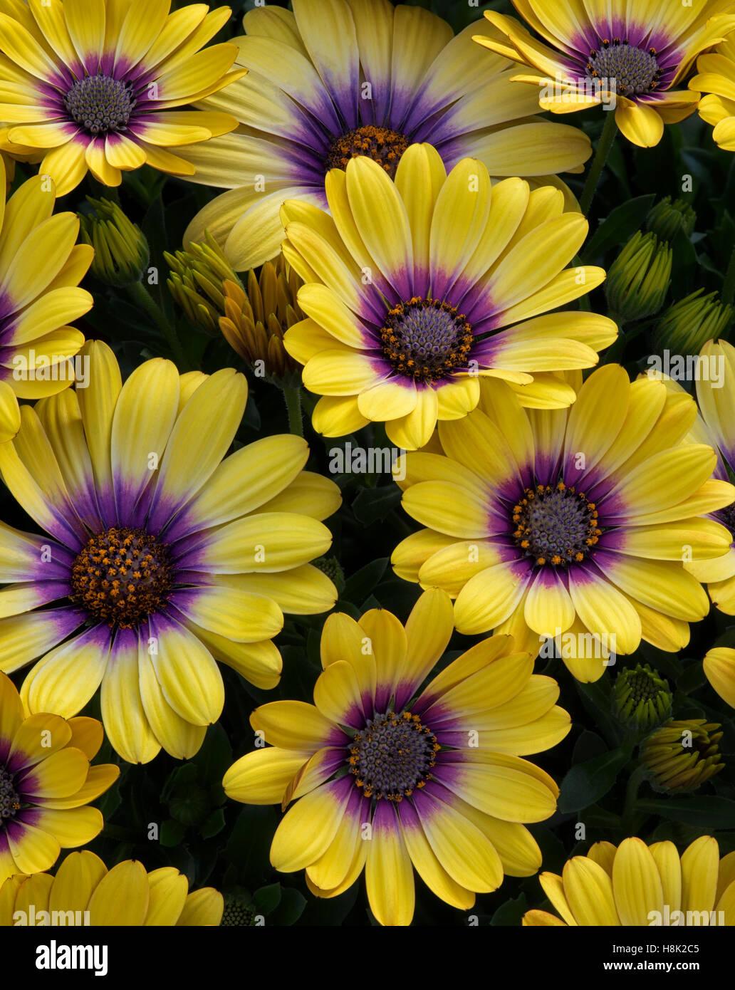 Close up of Blue-eyed Beauty (Osteospermum) - Stock Image