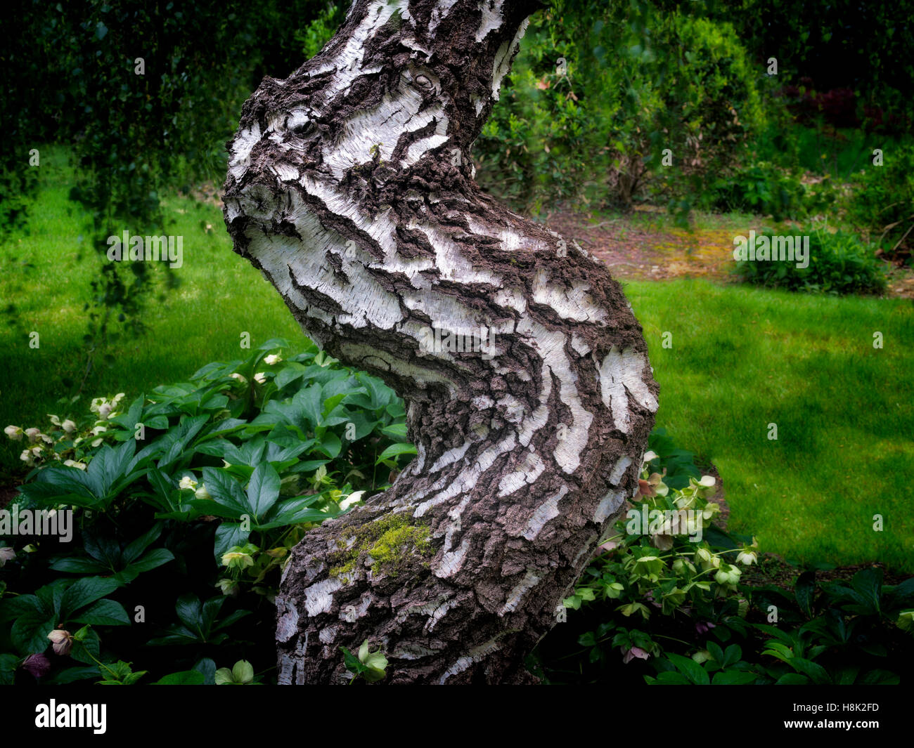 Alder tree trunk. Oregon - Stock Image