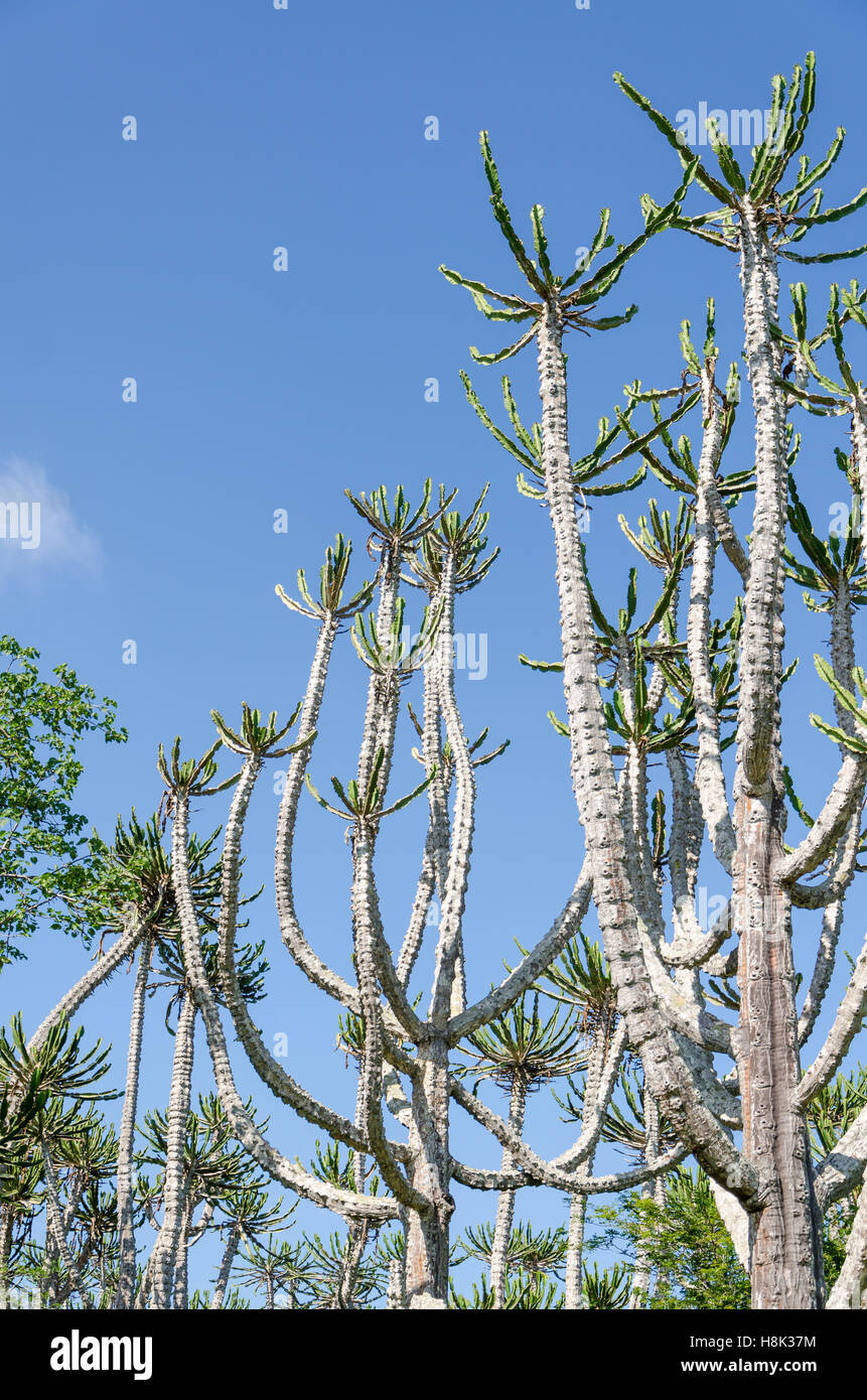 Tall and impressive Candelabrum Cactus in Angola. These cacti reach the heights of trees. - Stock Image