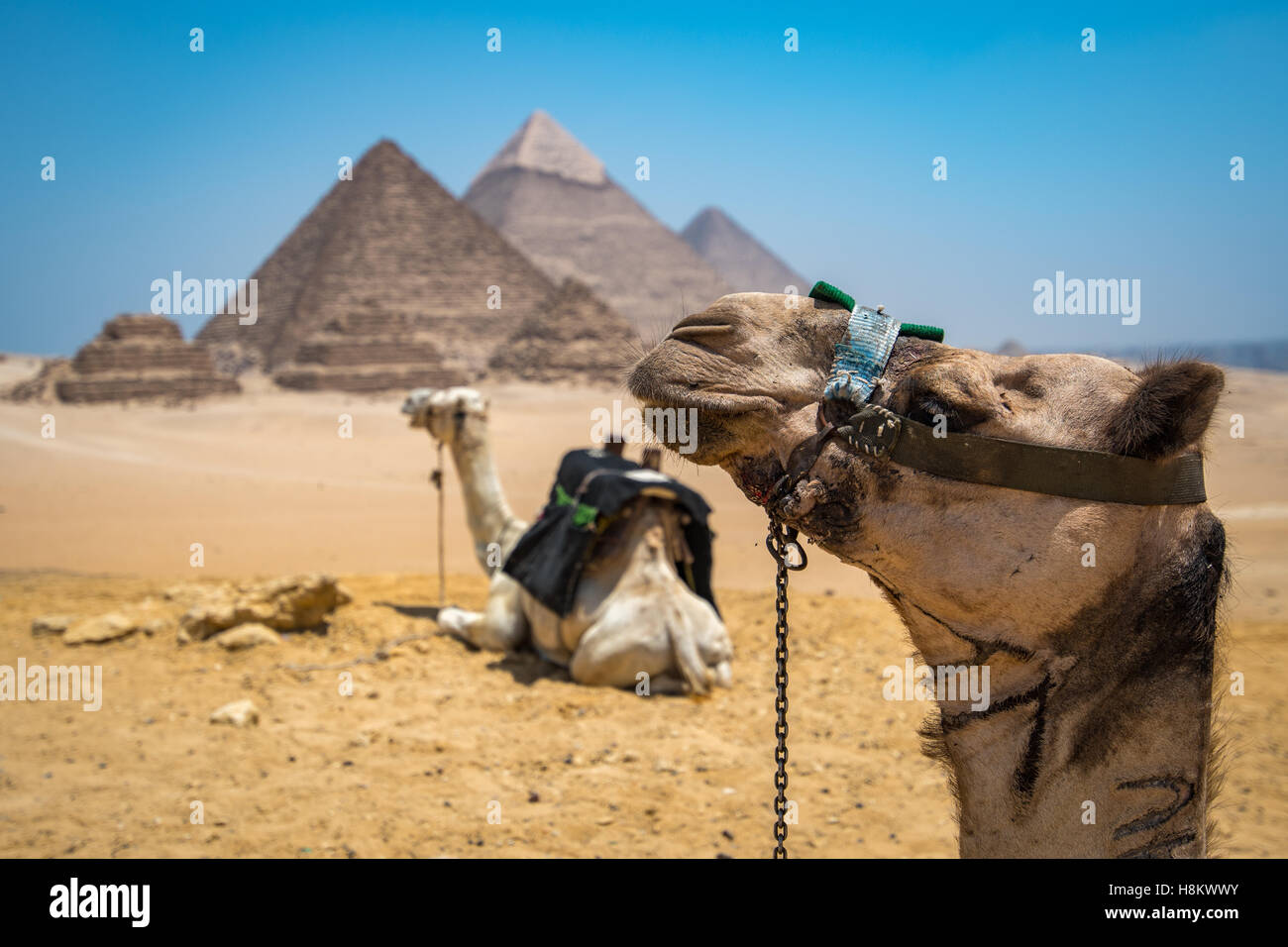 Cairo, Egypt Two camels resting in the desert with the three Great Pyramids of Giza in the background against a - Stock Image