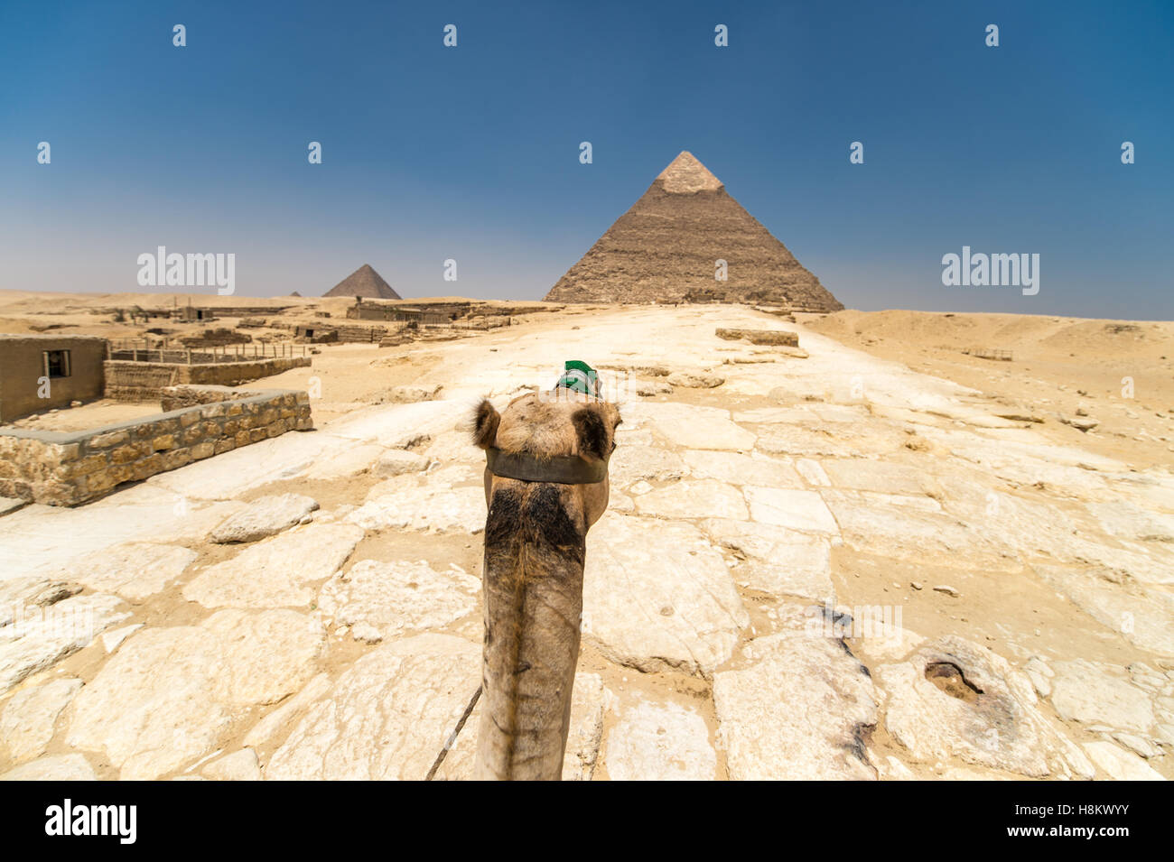 Cairo, Egypt Tourist riding a camel through the desert with the Great Pyramids of Giza in the background. These - Stock Image