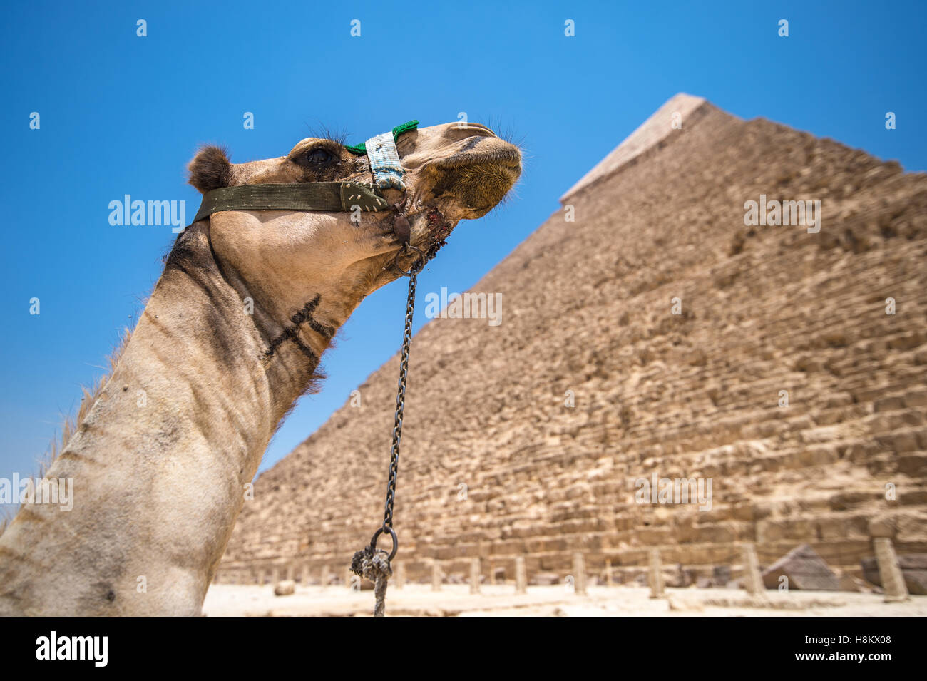 Cairo, Egypt Camel resting in the desert with the Great Pyramids of Giza in the background. This is The Pyramid - Stock Image