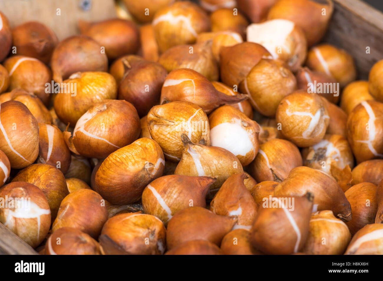 Amsterdam, Netherlands close up of flower bulbs for sale in an outdoor market. Stock Photo