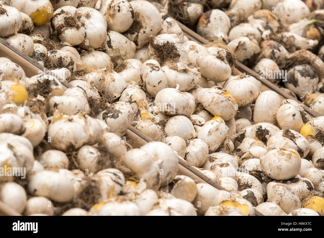 Amsterdam, Netherlands close up of different flower bulbs for sale in an outdoor market. Stock Photo