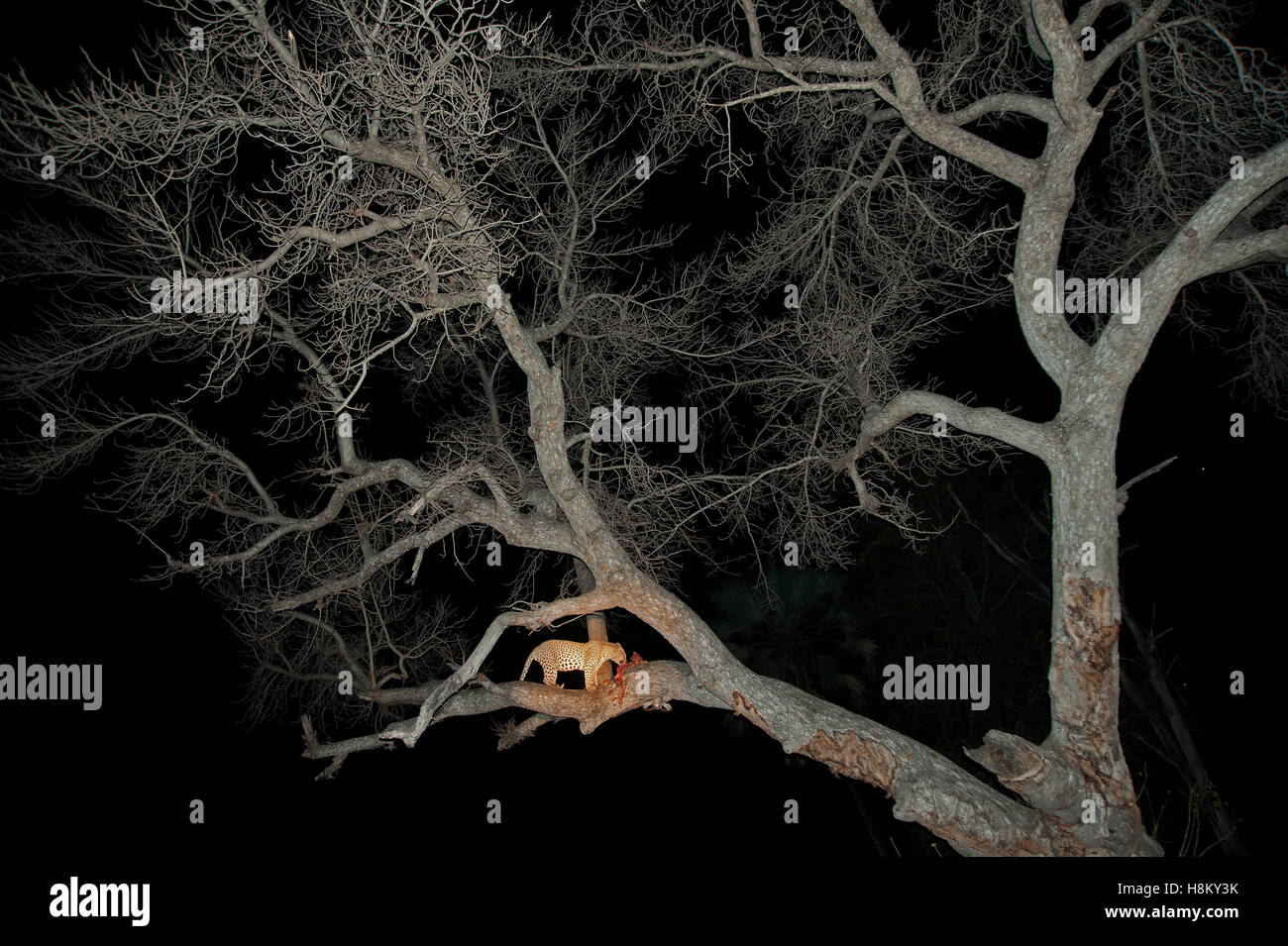 Scenic view of leopard in Marula tree with kill at night - Stock Image