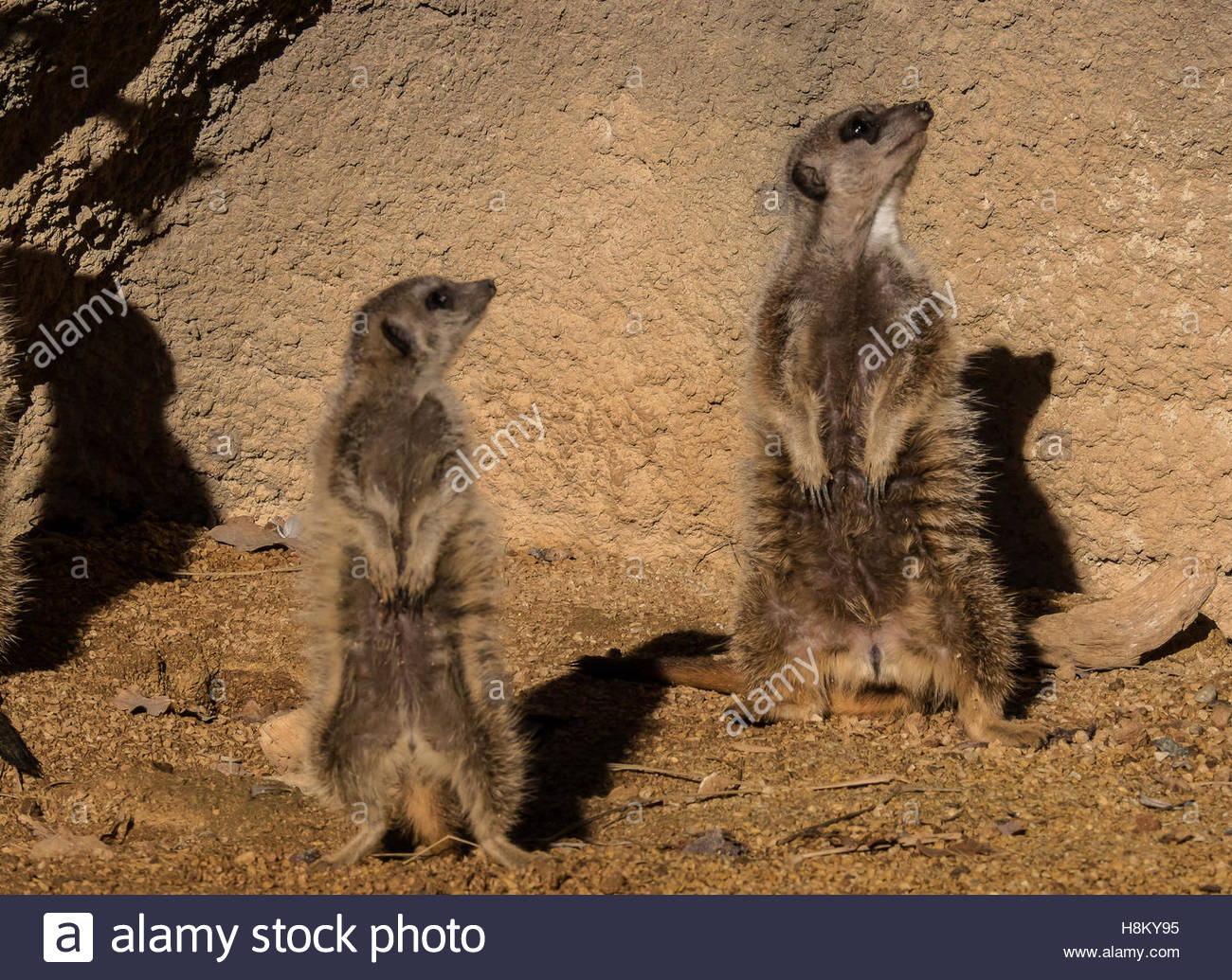 Turin, Italy. 12 november, 2016. ZOOM Zoo. Suricata suricatta The Meerkat (Suricata suricatta Schreber, 1776),Mongoose - Stock Image
