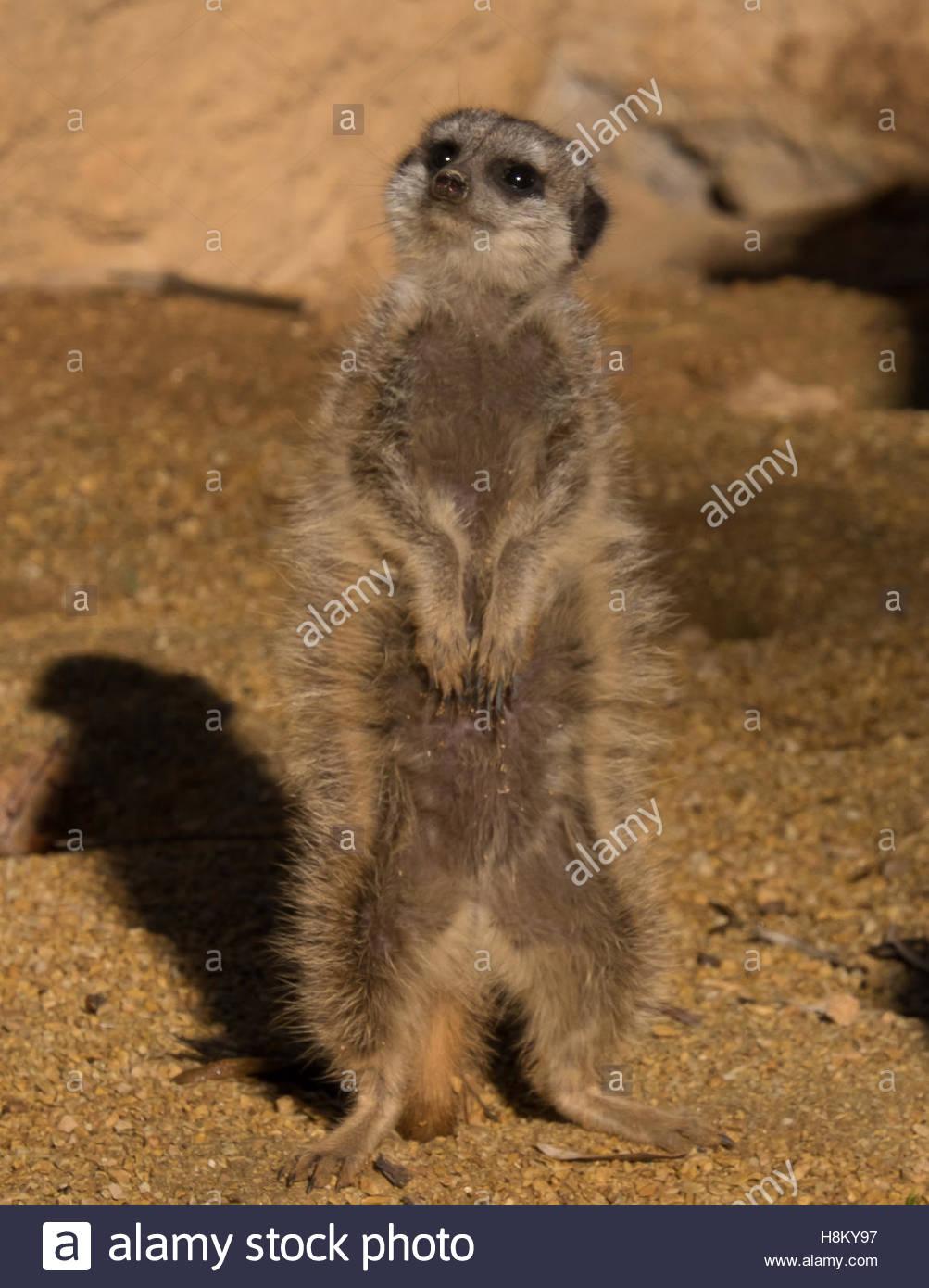 Turin, Italy. 12 november, 2016. ZOOM Zoo. Suricata suricatta The Meerkat (Suricata suricatta Schreber, 1776).Mongoose - Stock Image