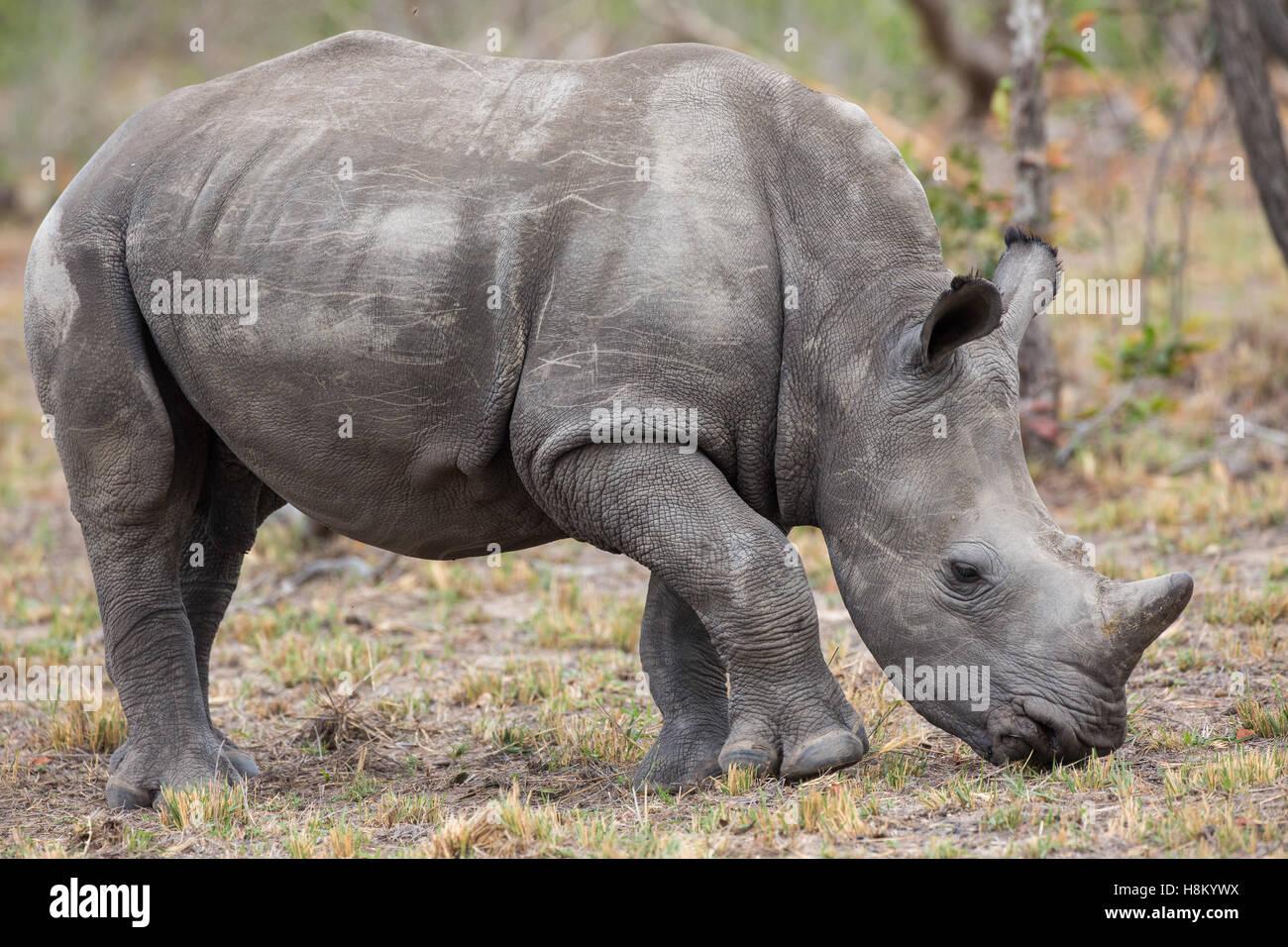 Baby white rhino (Ceratotherium simum) grazing - Stock Image