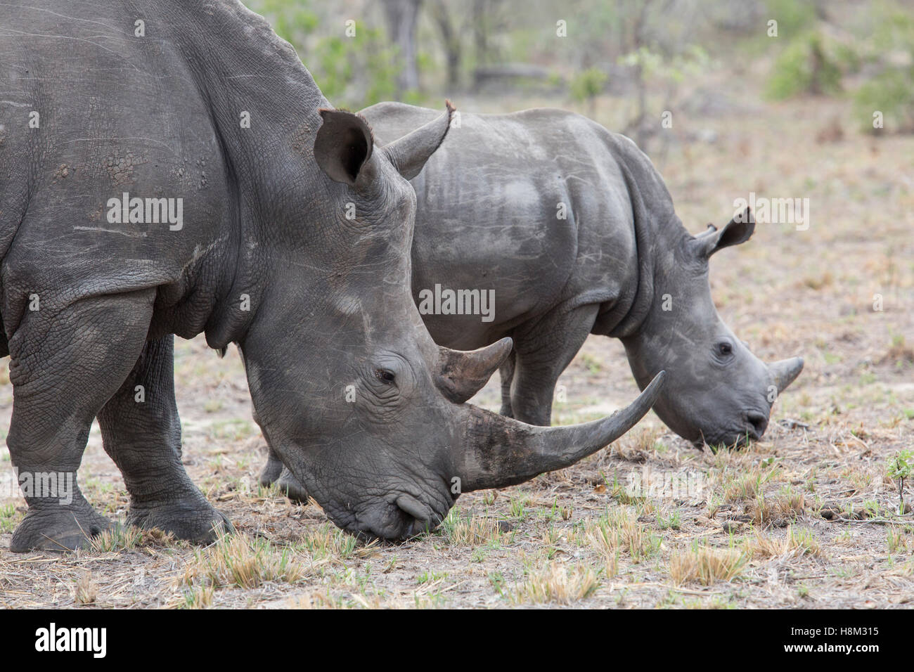 Portrait of a female Rhinoceros with a large horn and calf grazing - Stock Image