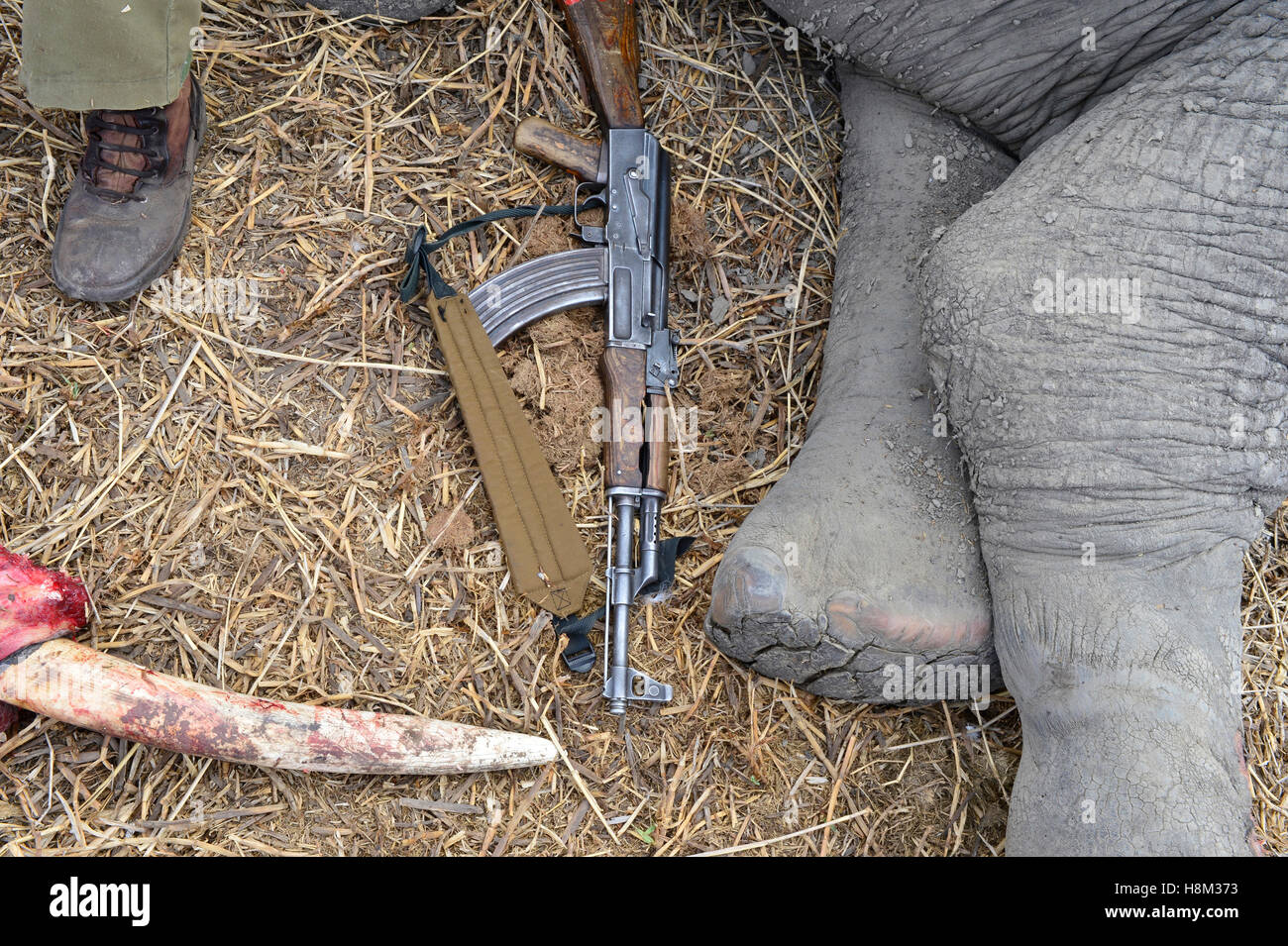 Still life showing the legs of a dead elephant an AK47  rifle and a tusk removed from the dead elephant - Stock Image