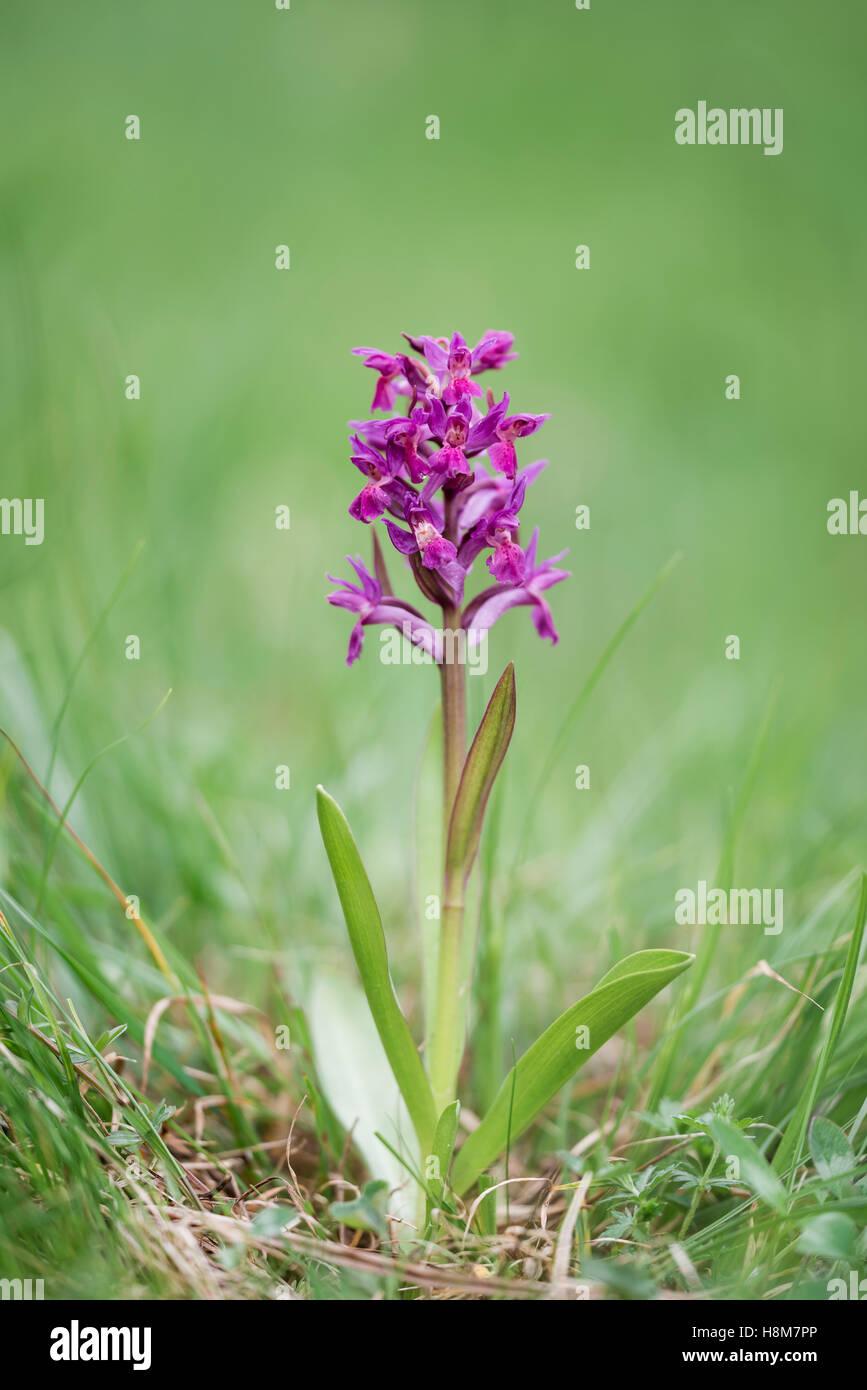 Holunder-Knabenkraut, Dactylorhiza sambucina, Elder-flowered Orchid - Stock Image