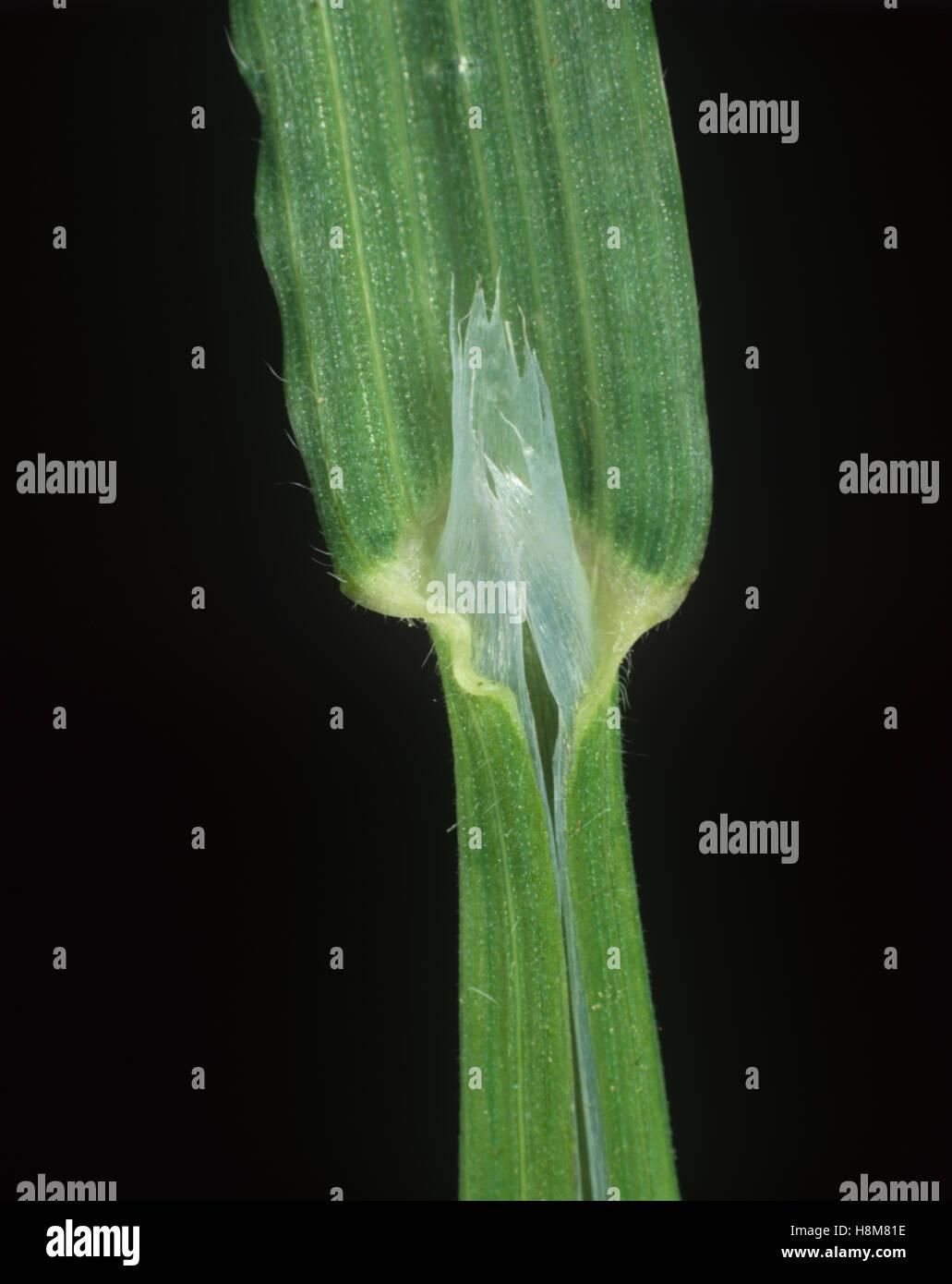 Sterile or barren brome, Bromus sterilis, leaf ligule - Stock Image