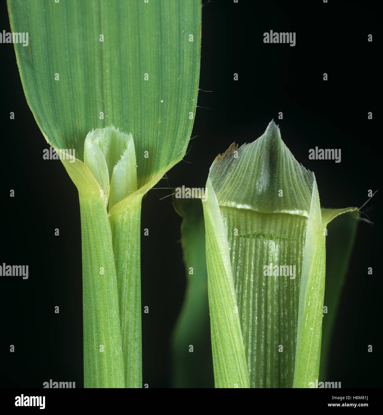 Wild oat, Avena fatua, leaf ligule of an agricultural grass weed - Stock Image