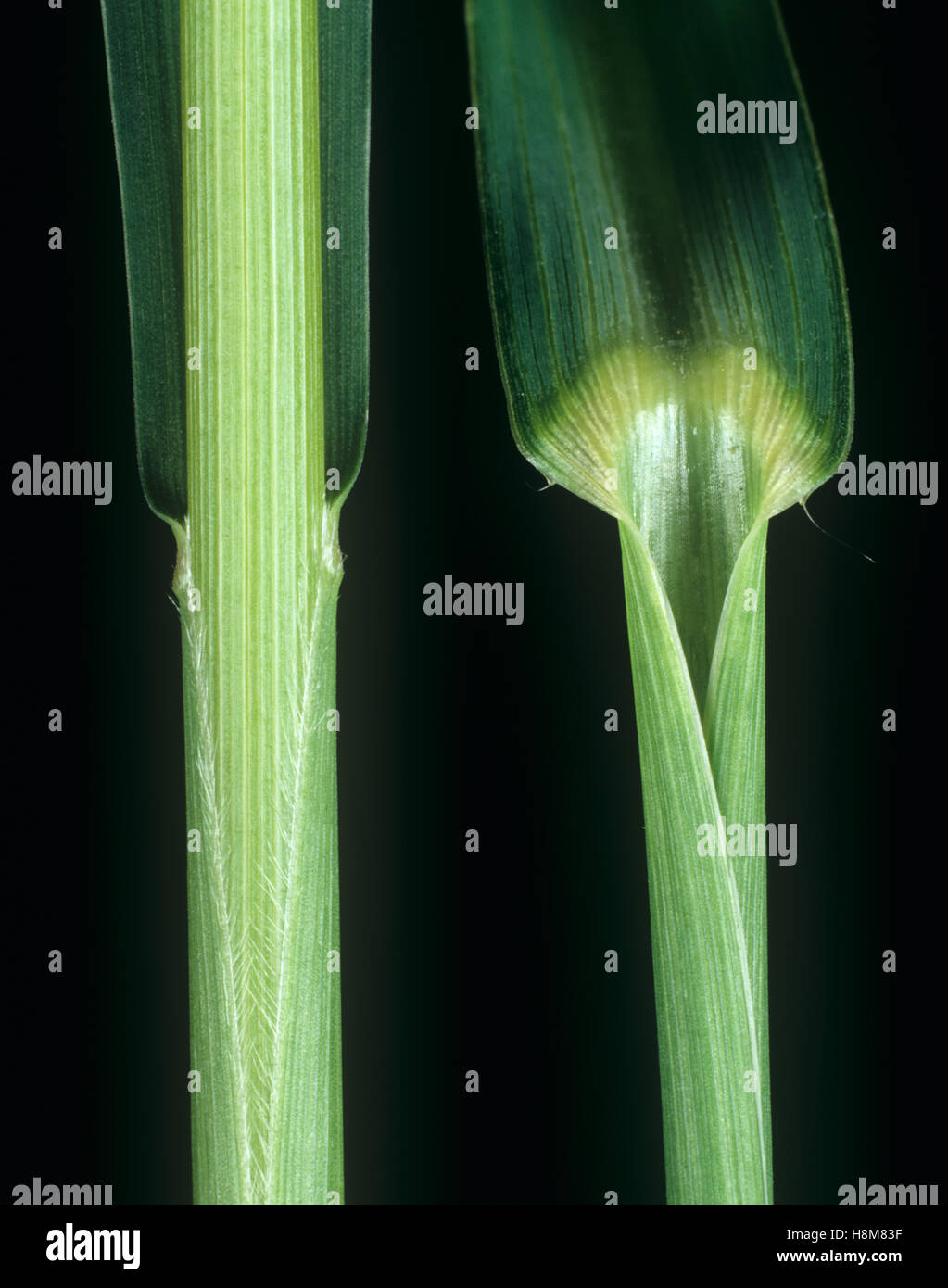 Jungle rice, Echinochloa colona, leaf ligule at the node and leafstalk of an agricultural grass weed - Stock Image