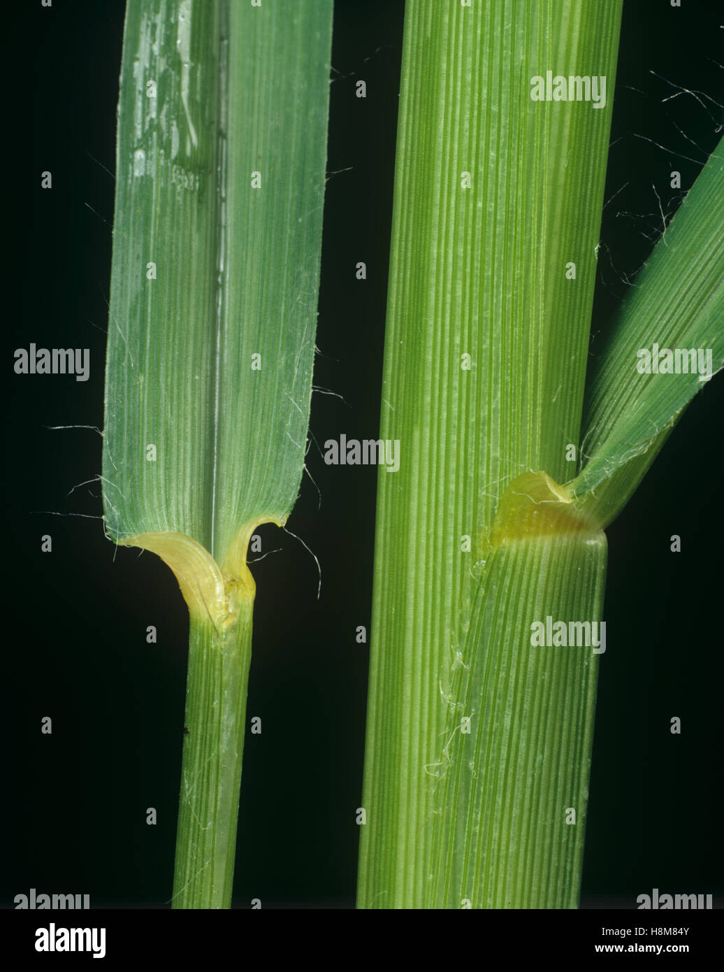 Crowfoot grass or goosegrass, Eleusine indica, leaf ligule at the node and leafstalk of an agricultural grass weed - Stock Image
