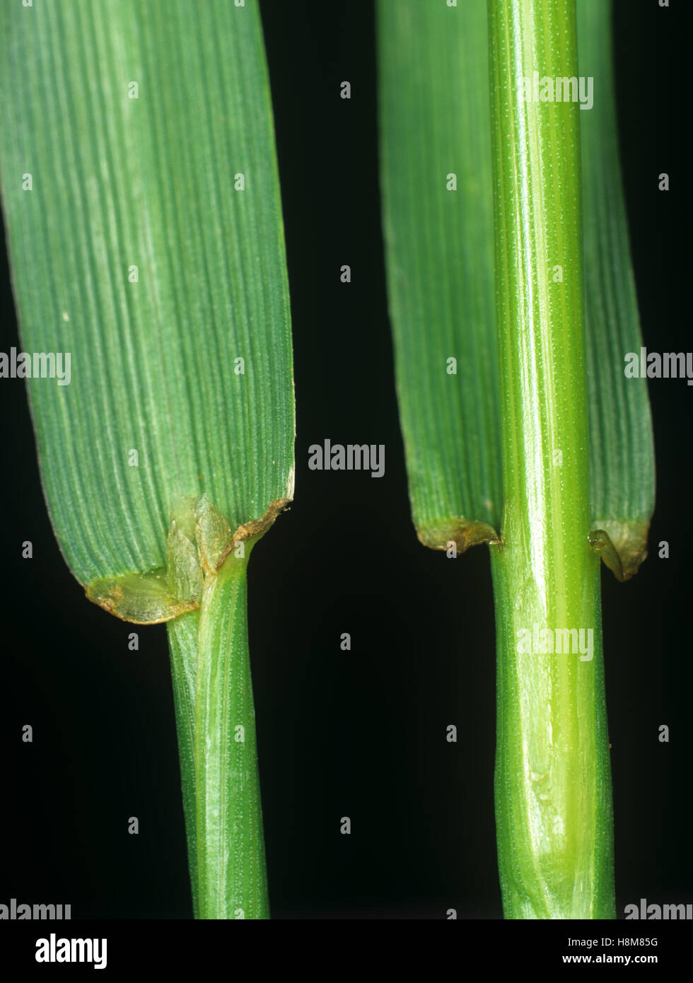 Perennial ryegrass, Lolium perenne, leaf ligule at the node and leafstalk of an agricultural grass - Stock Image