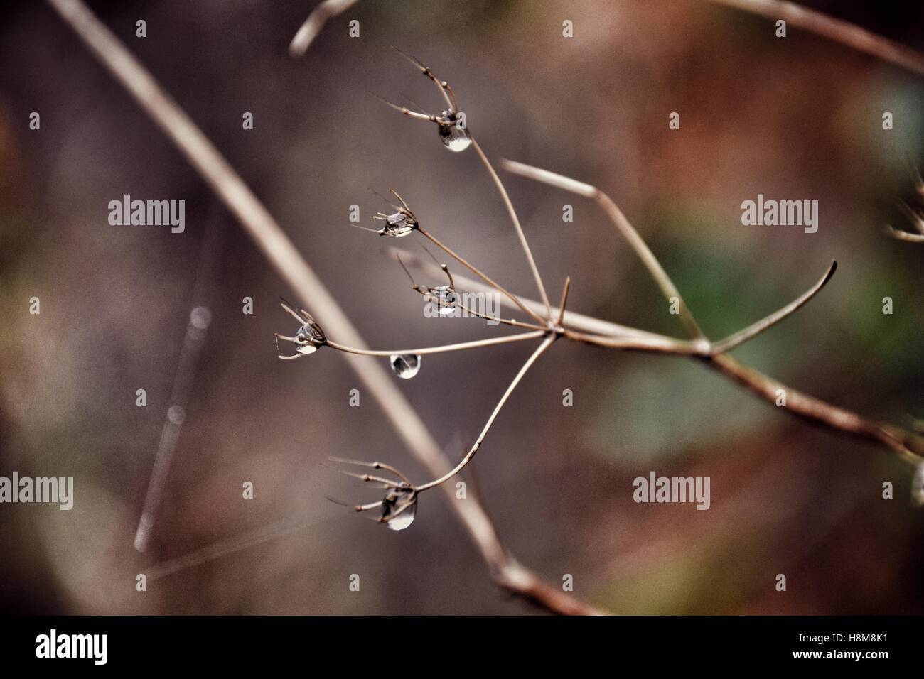 Water droplets on dried flower head in autumn - Stock Image