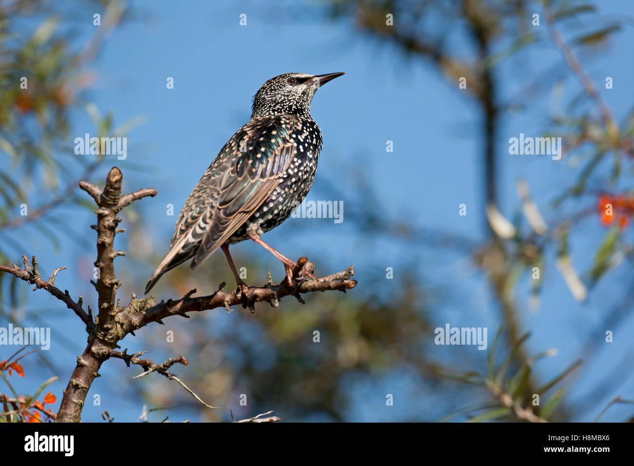 European Starling (Sturnus vulgaris). Adult in winter plumage in fruiting Sea Buckthorn. Germany Stock Photo