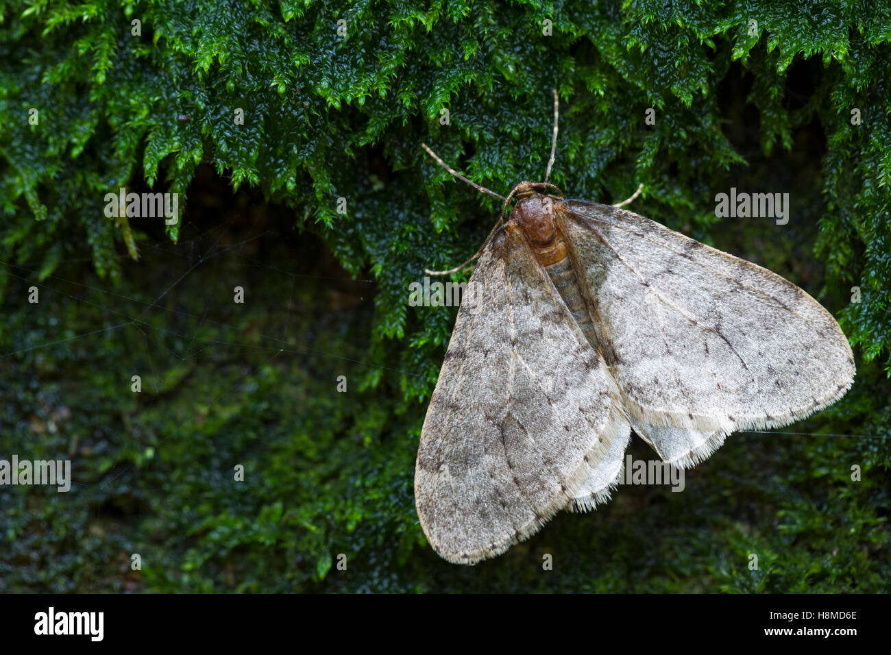 Beech Winter Moth, Northern Winter Moth (Operophtera fagata), male on moth. Germany - Stock Image