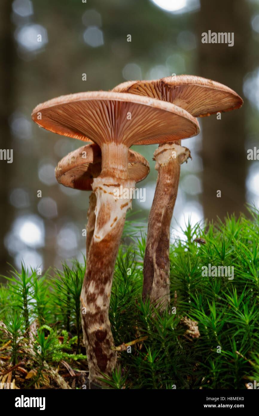 Group of Freckled Dapperling mushrooms (Lepiota aspera) and Hair moss - Stock Image